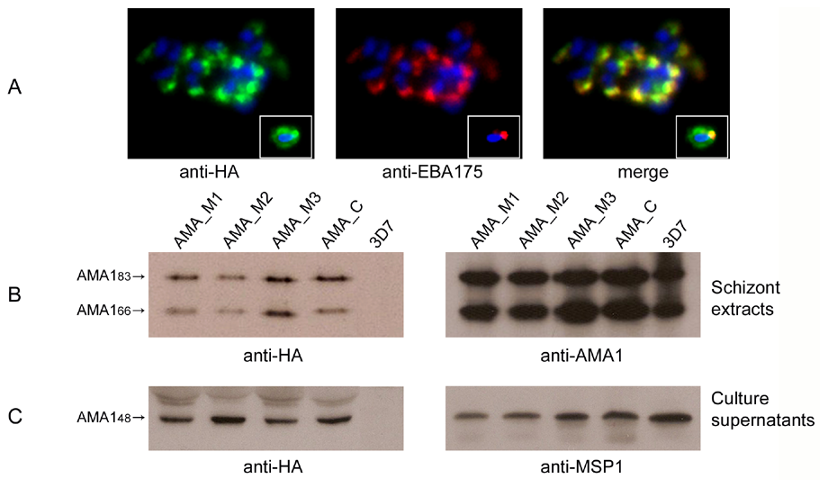 Alanine mutagenesis of the PfSUB2 cleavage site does not affect expression, localisation or shedding of PfAMA1.