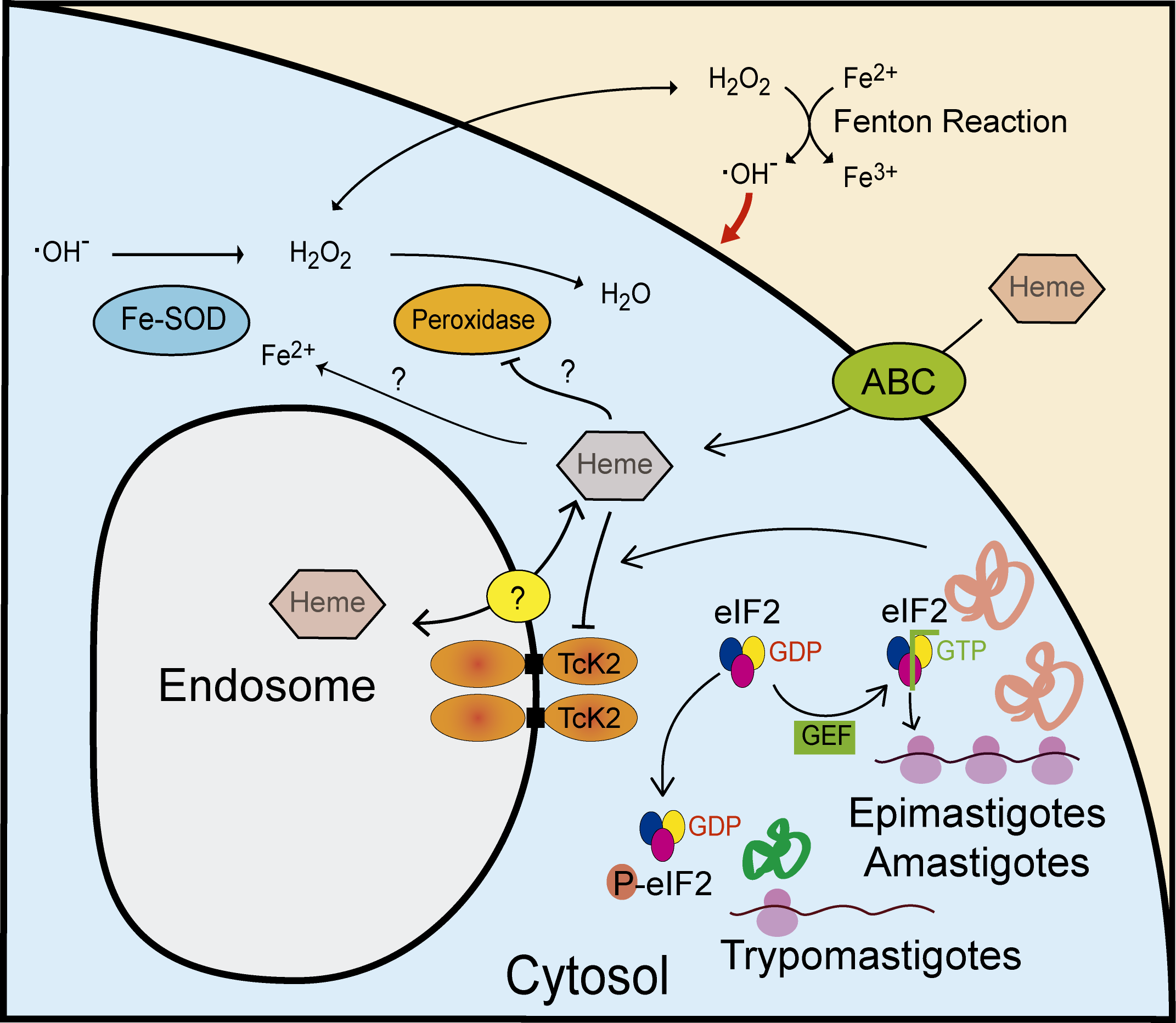 Model of the proposed actions of TcK2 in response to heme during growth and differentiation of <i>T. cruzi</i>.