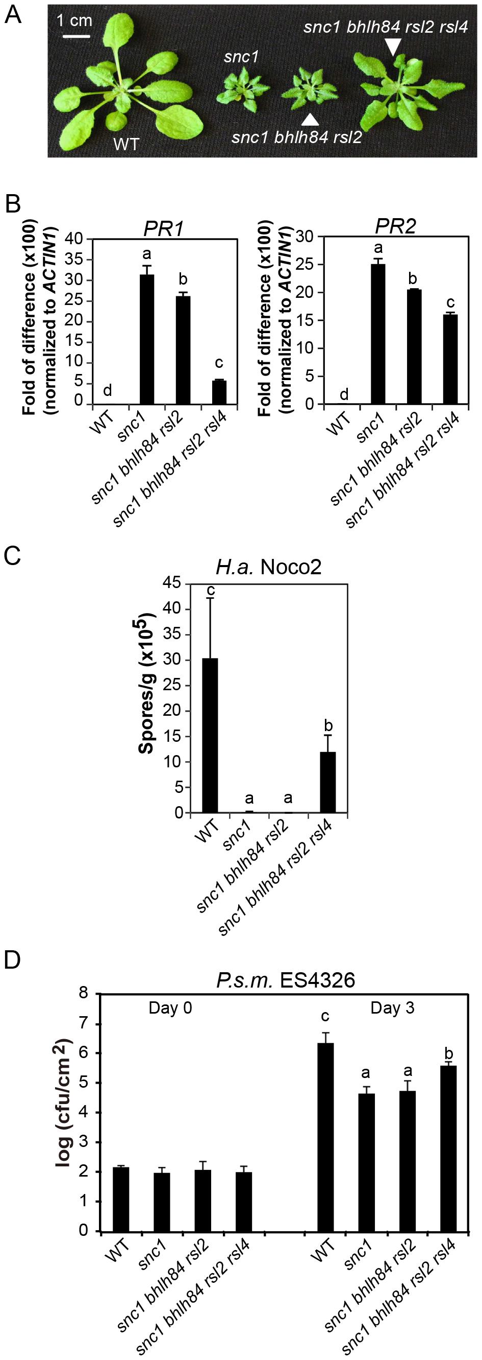<i>bhlh84 rsl2 rsl4</i> partially suppresses the autoimmunity of <i>snc1</i>.
