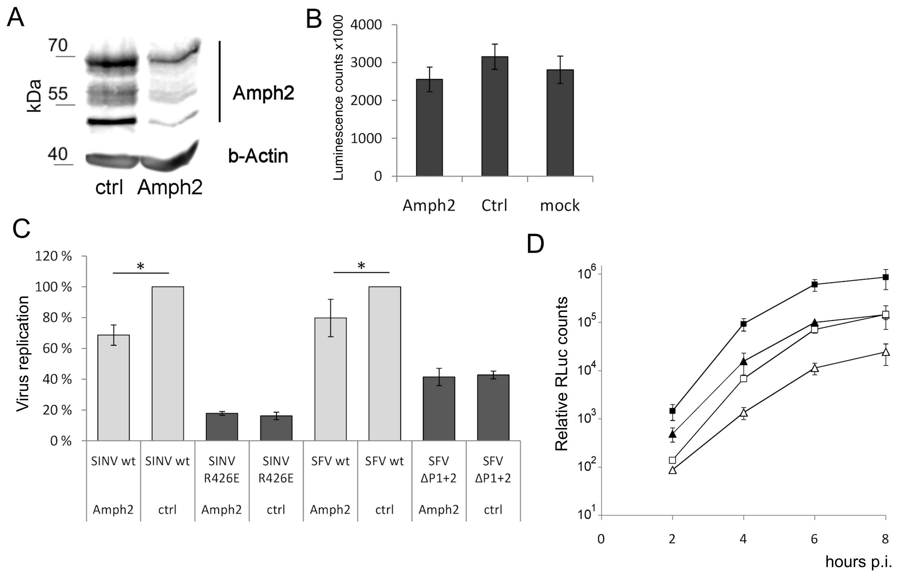 Amphiphysin silencing impairs viral RNA replication.
