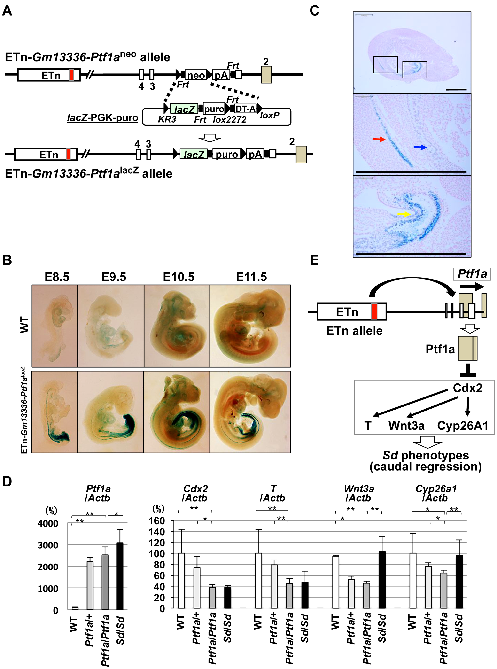 Ectopic expression of <i>Ptf1a</i> and downregulation of <i>Cdx2</i> and its downstream targets.