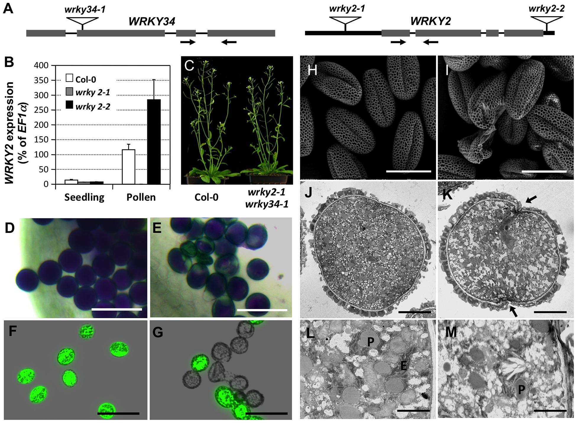 Phenotype of <i>wrky2-1 wrky34-1</i> double mutant pollen.