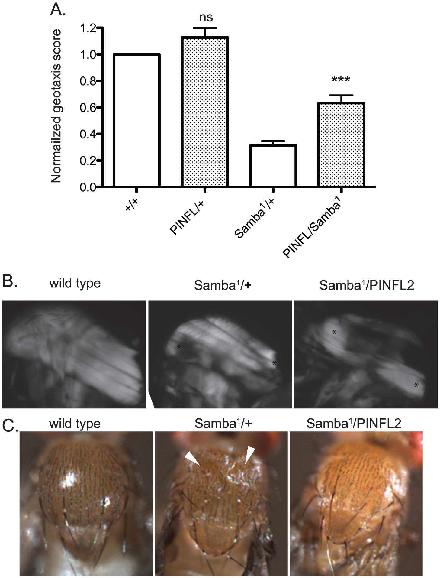 Increased expression of PINCH-Flag rescues geotaxis defects and thoracic indentation, but does not reverse hypercontraction of the IFM in the <i>Samba<sup>1</sup></i> mutant.