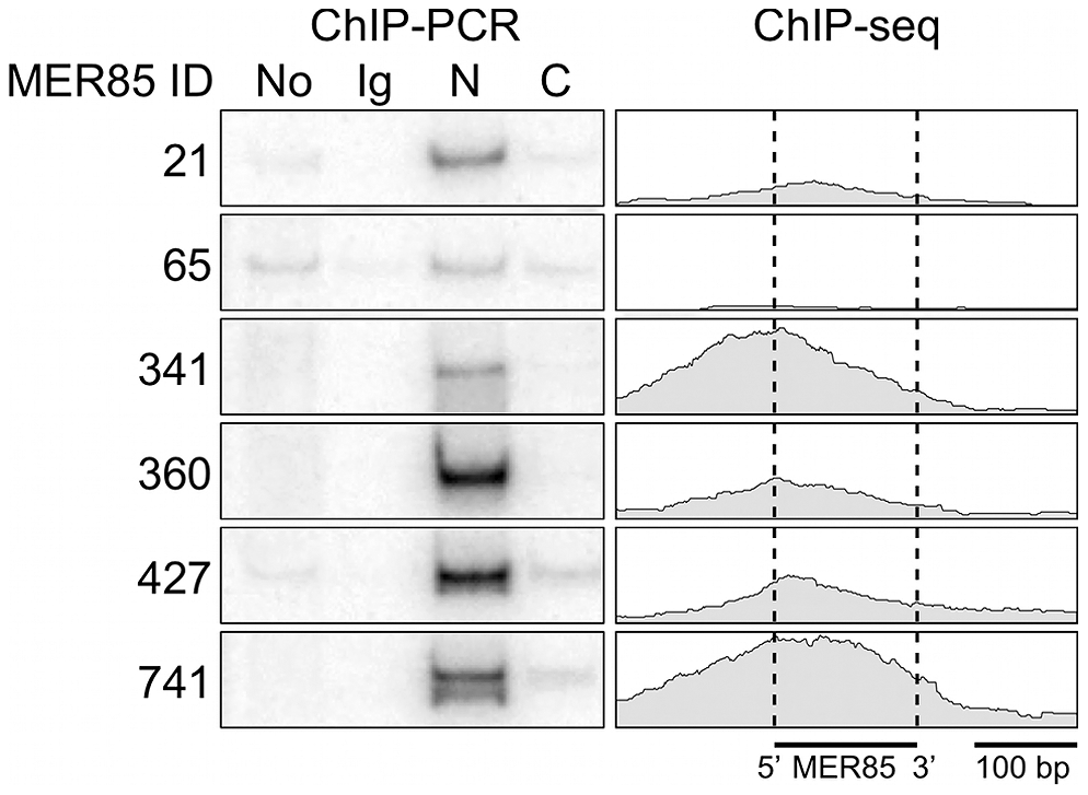 The CSB-PGBD3 fusion protein binds to MER85 elements <i>in vivo</i>.