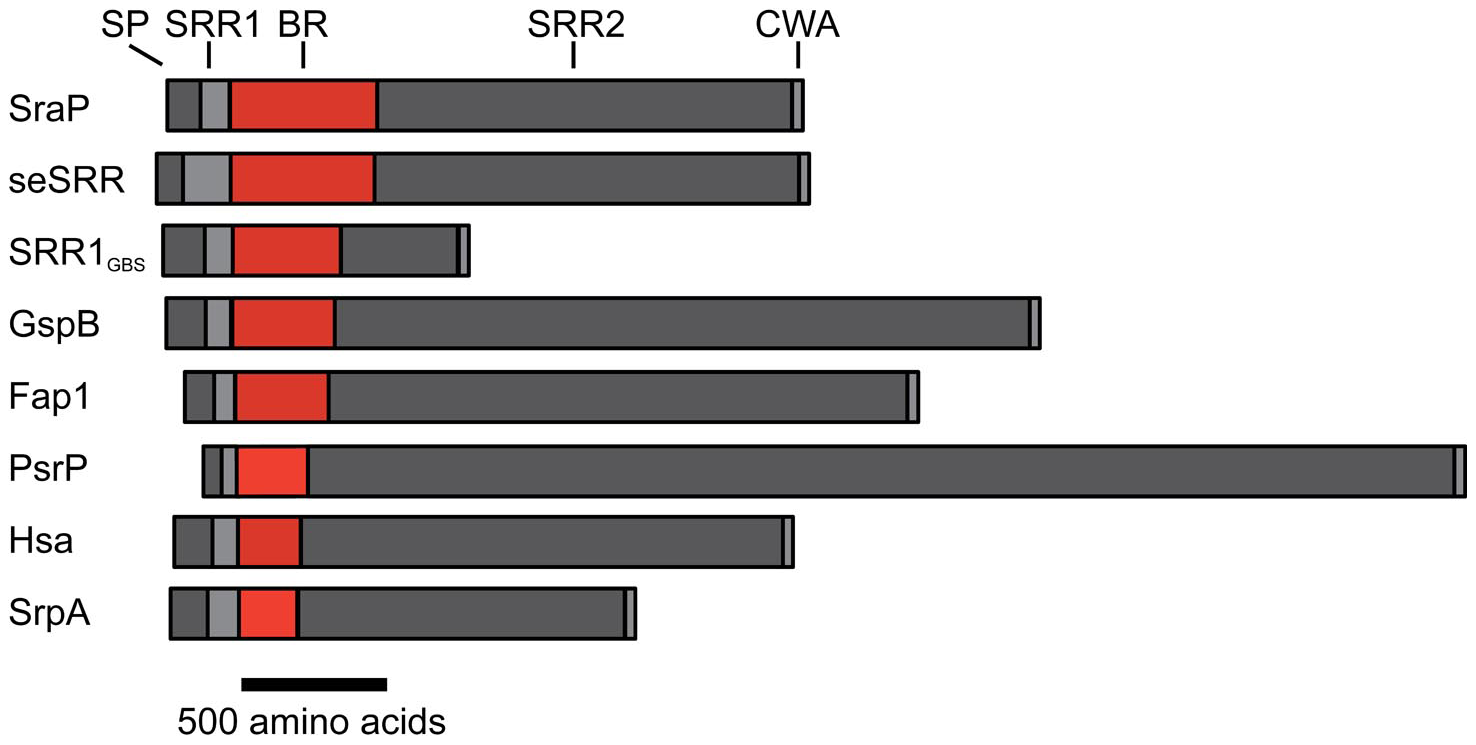 Schematic of the SRR adhesins.