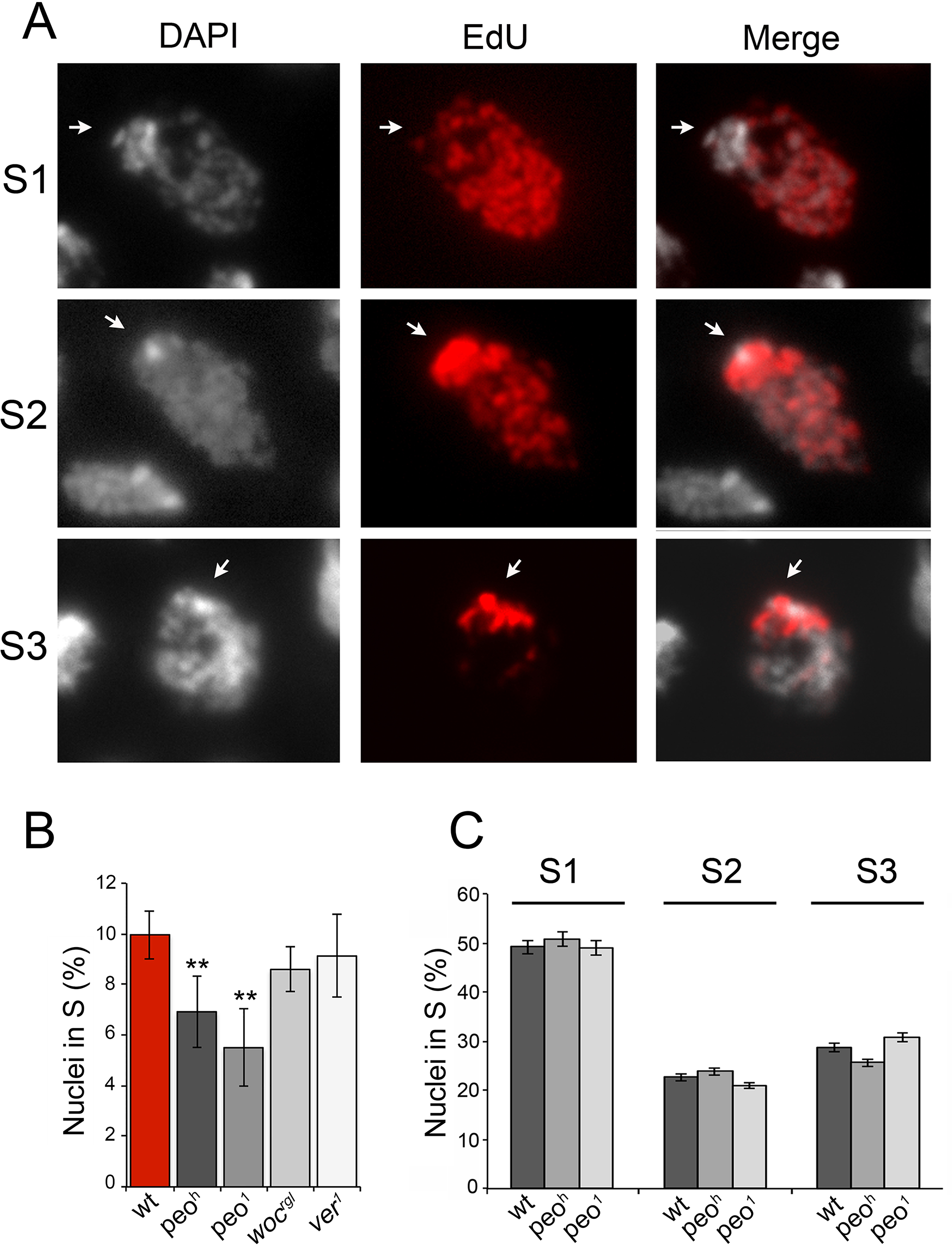 Mutations in <i>peo</i> affect DNA replication in brain cell nuclei.