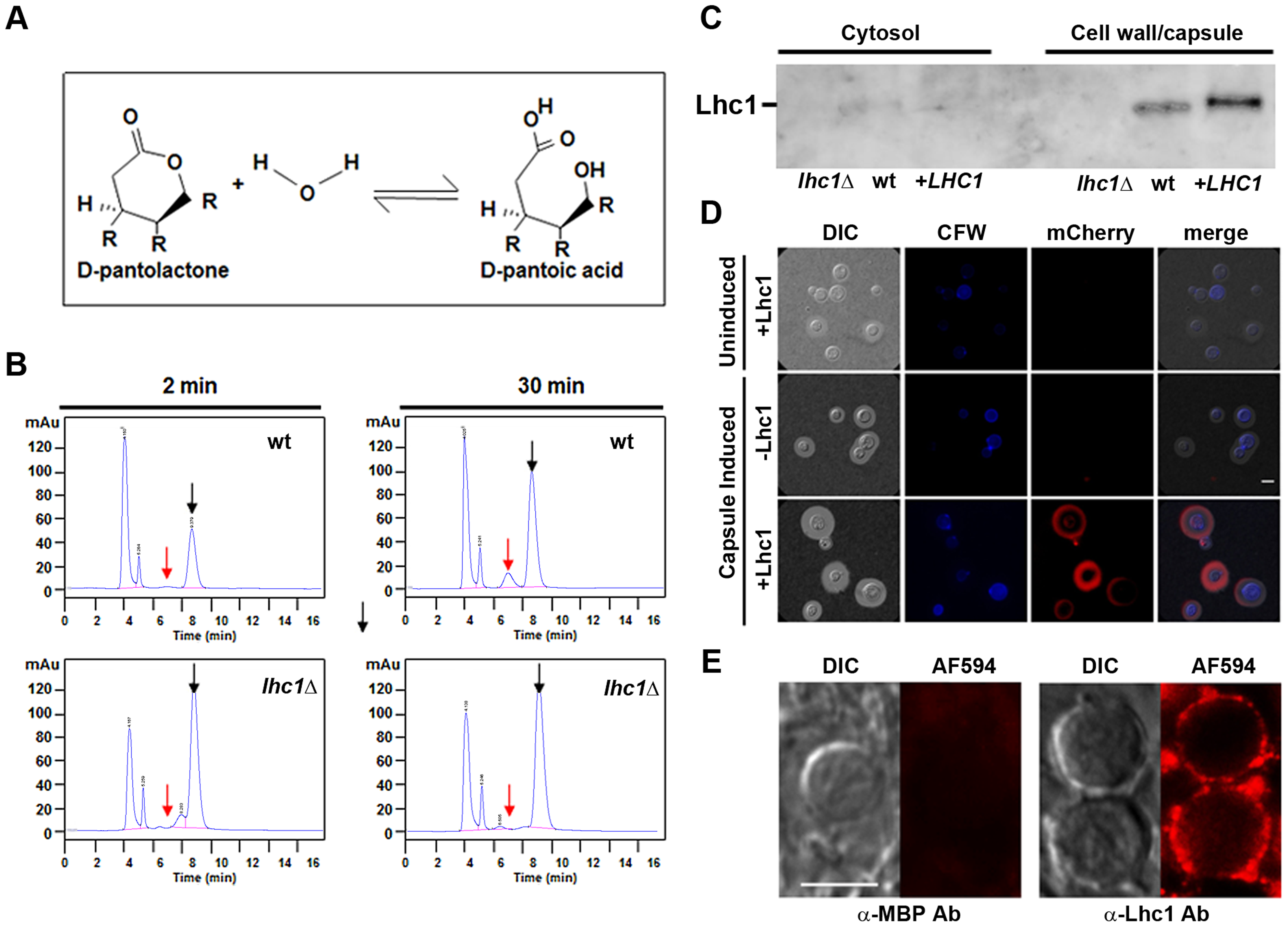<i>C. neoformans</i> possesses a <i>LHC1</i>-dependent lactonohydrolase activity that is localized to the capsule and expressed during human infection.