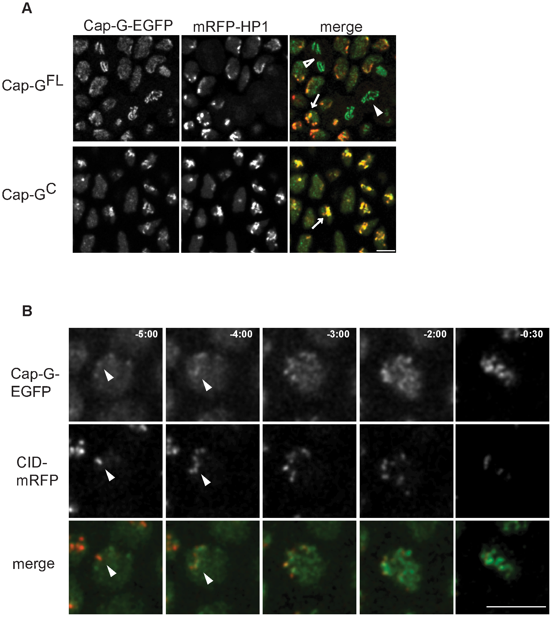 Cap-G-EGFP co-localizes with HP1 in interphase and initiates chromatin loading at centromeres.