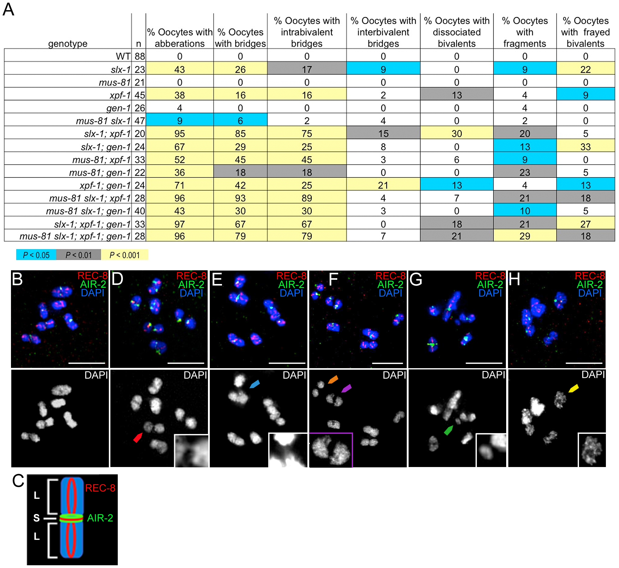 Oocytes in structure-specific endonuclease mutants exhibit chromosomal abnormalities.
