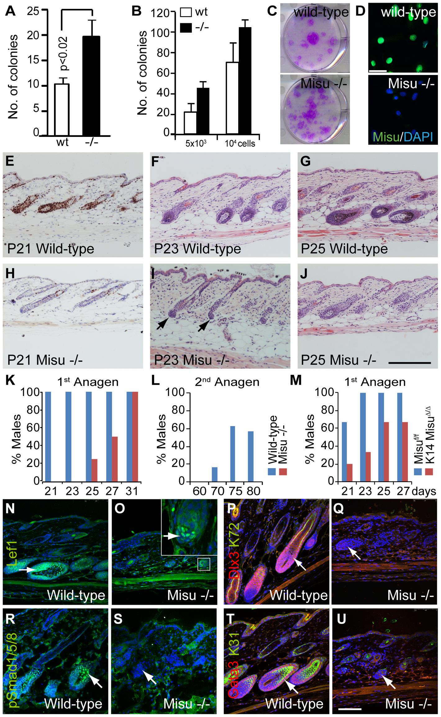 Lack of Misu affects self-renewal of epidermal stem cells.