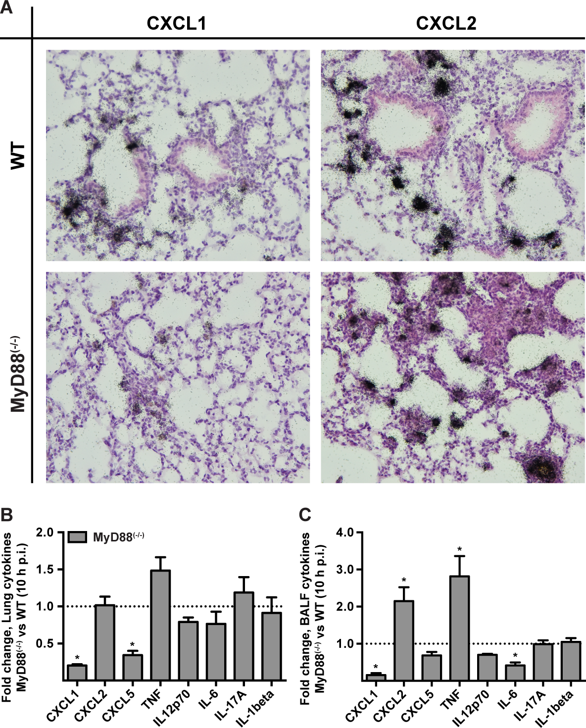 MyD88 is required for the first phase of CXCL1 induction in the lung.