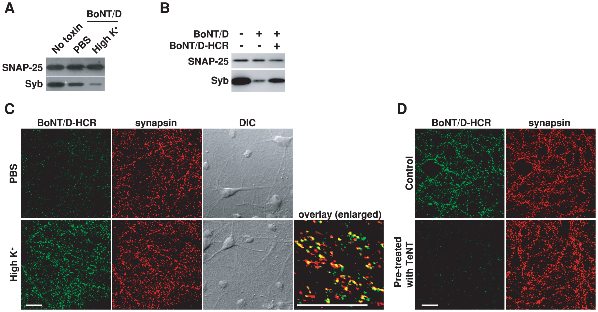 Stimulation of synaptic vesicle recycling increases the binding and entry of BoNT/D into neurons.