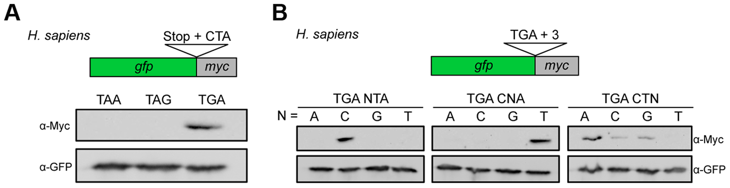 Characterization of sequence requirements for translational readthrough in human cells.