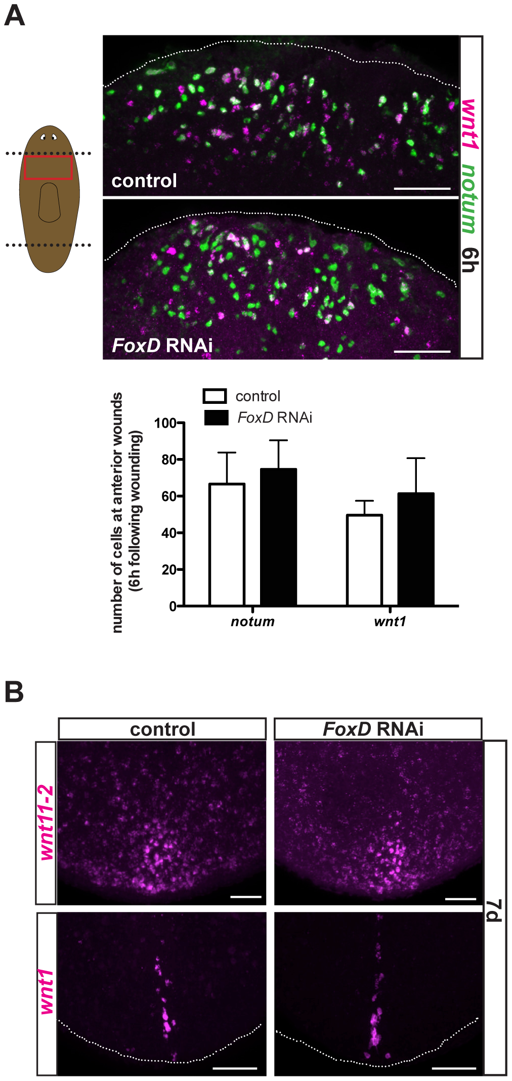 <i>FoxD(RNAi)</i> animals have normal expression of wound-induced genes and posterior genes.