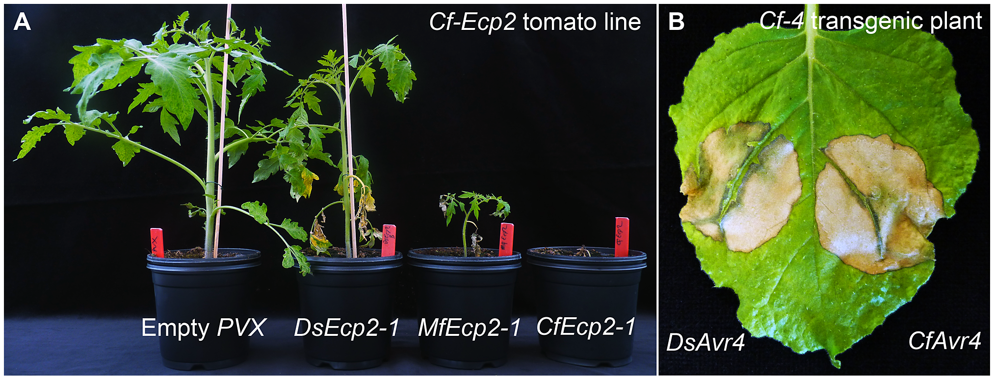 Recognition of <i>Dothistroma septosporum</i> effectors by tomato Cf receptors.