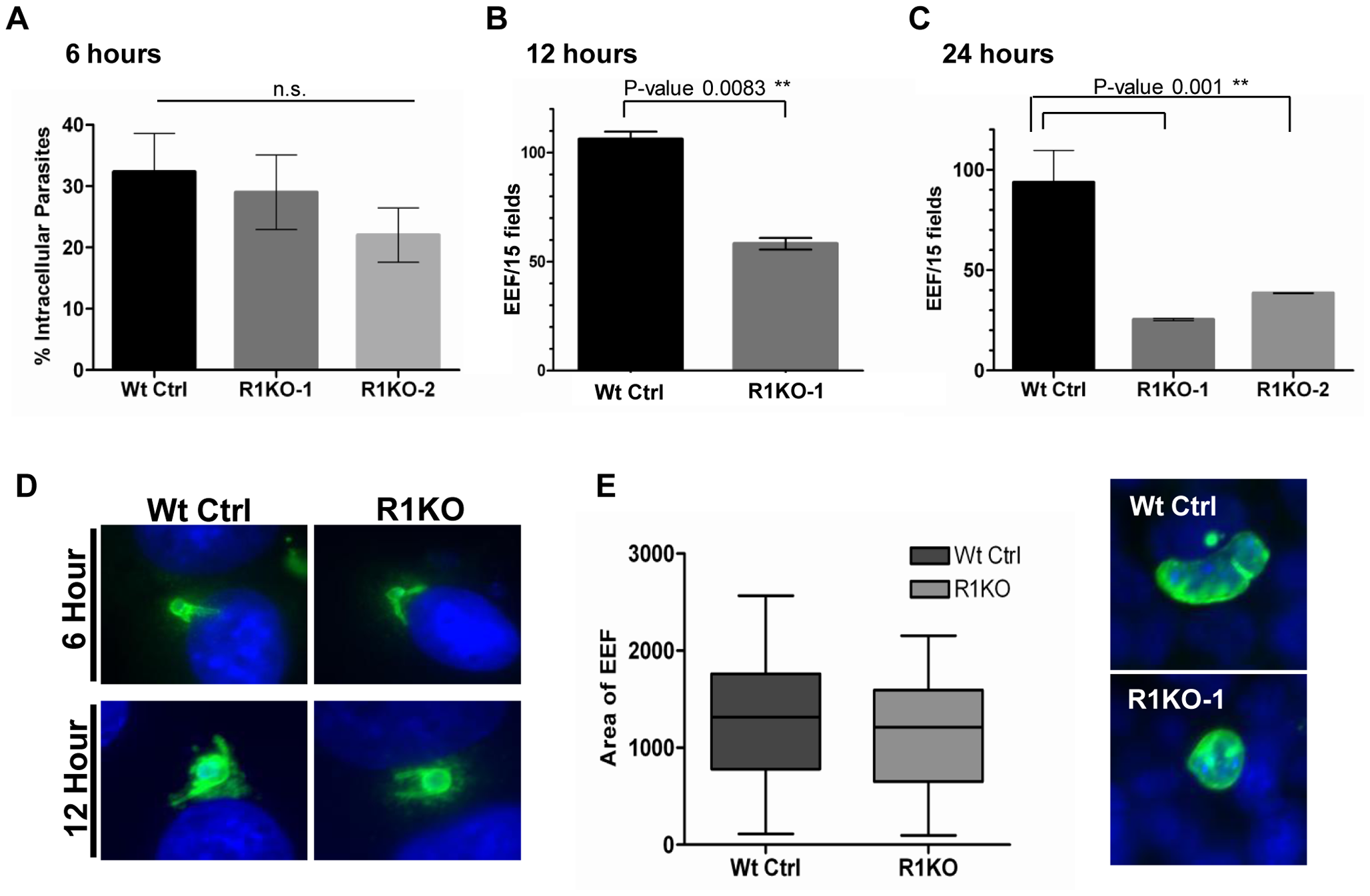 Development of <i>pyrom1(-)</i> EEF is significantly reduced within the first 24 hours of hepatic development.