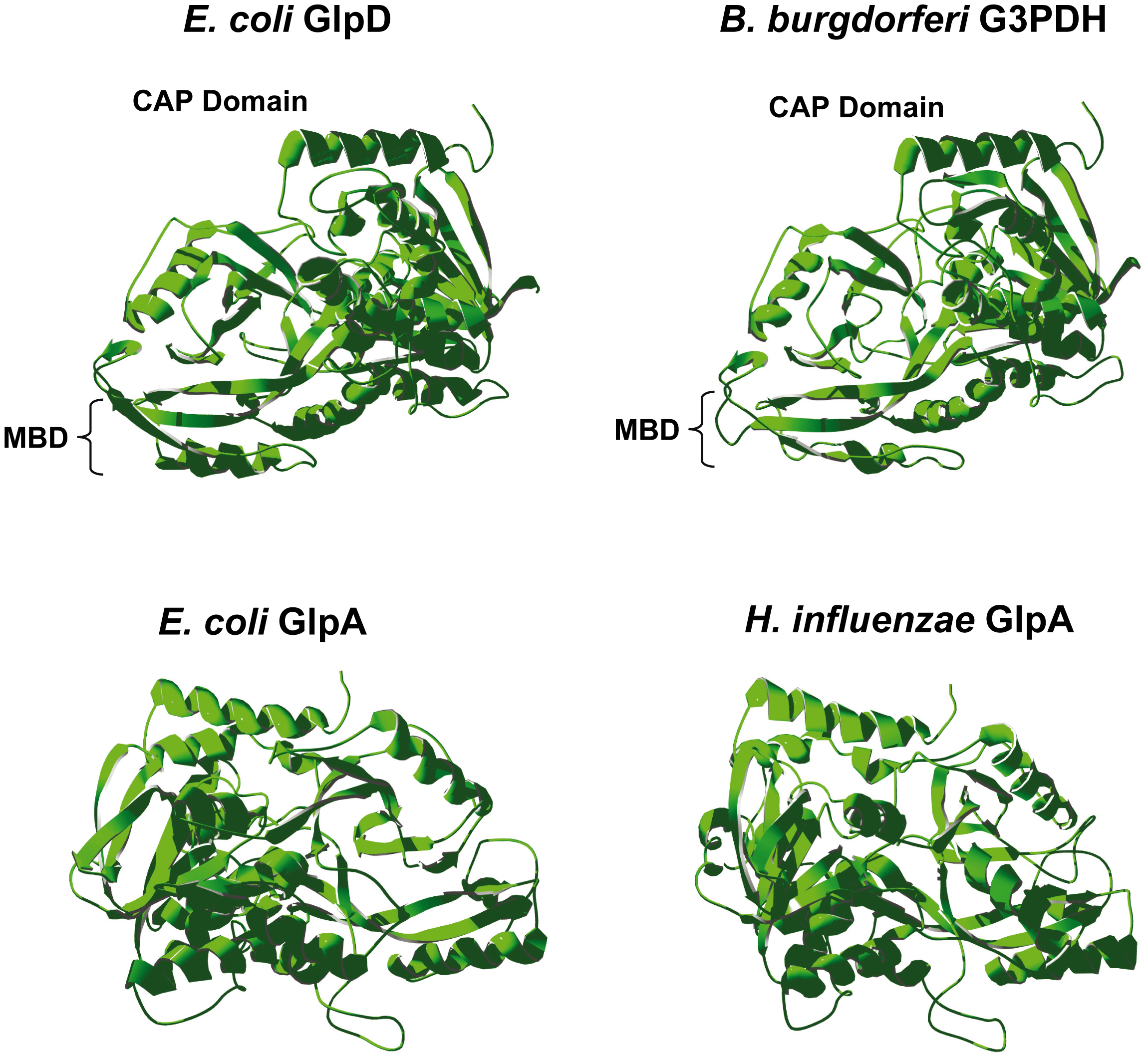 Predicted tertiary structure of <i>B. burgdorferi</i> G3PDH.
