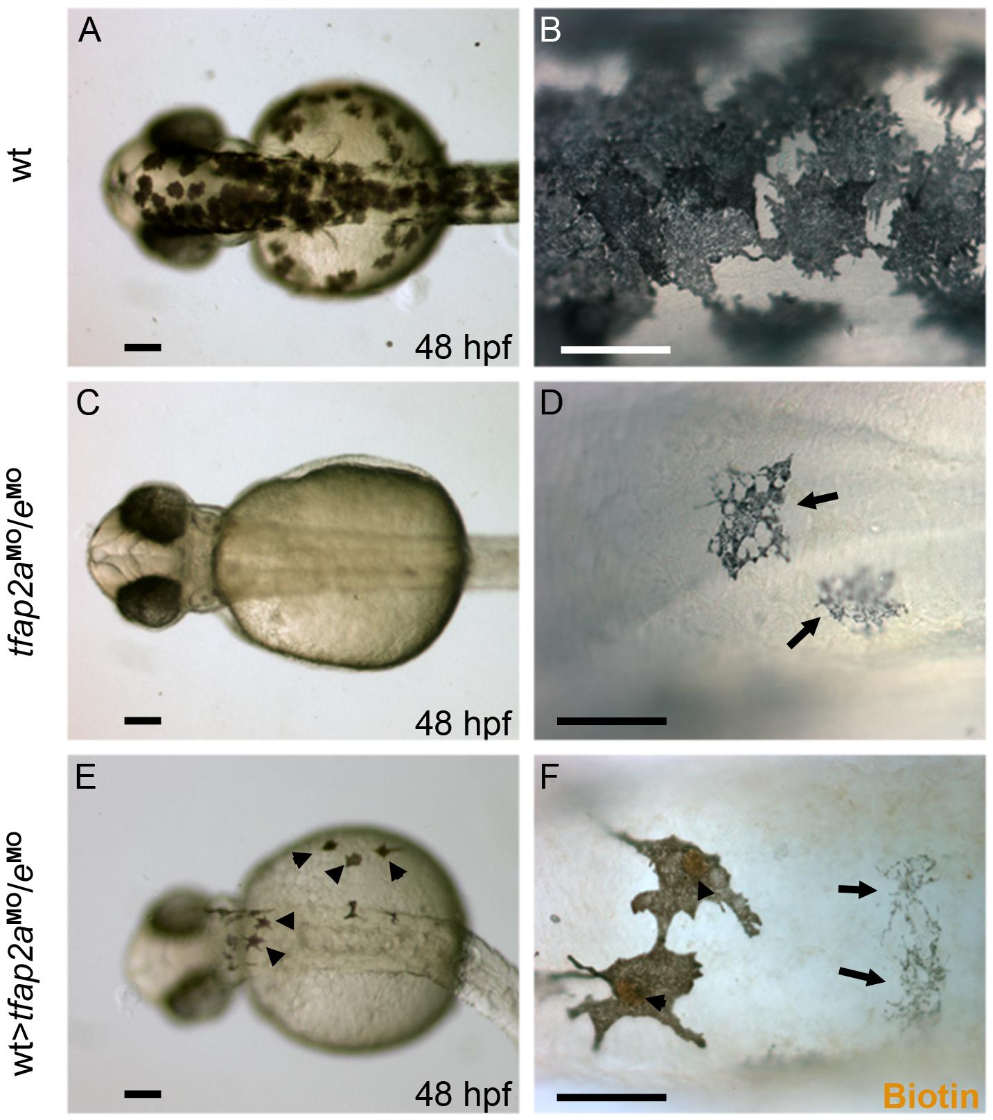 Tfap2a/e activity in melanophore differentiation appears to be cell-autonomous.