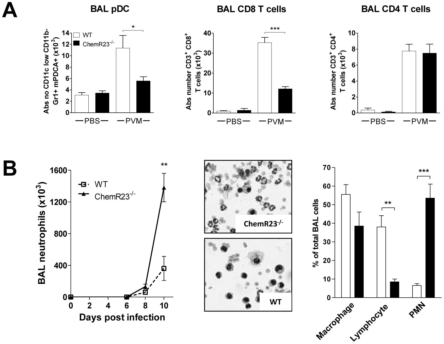Decreased recruitment of pDCs and CD8<sup>+</sup> T lymphocytes and higher recruitment of neutrophils to the lung of infected ChemR23-deficient mice.