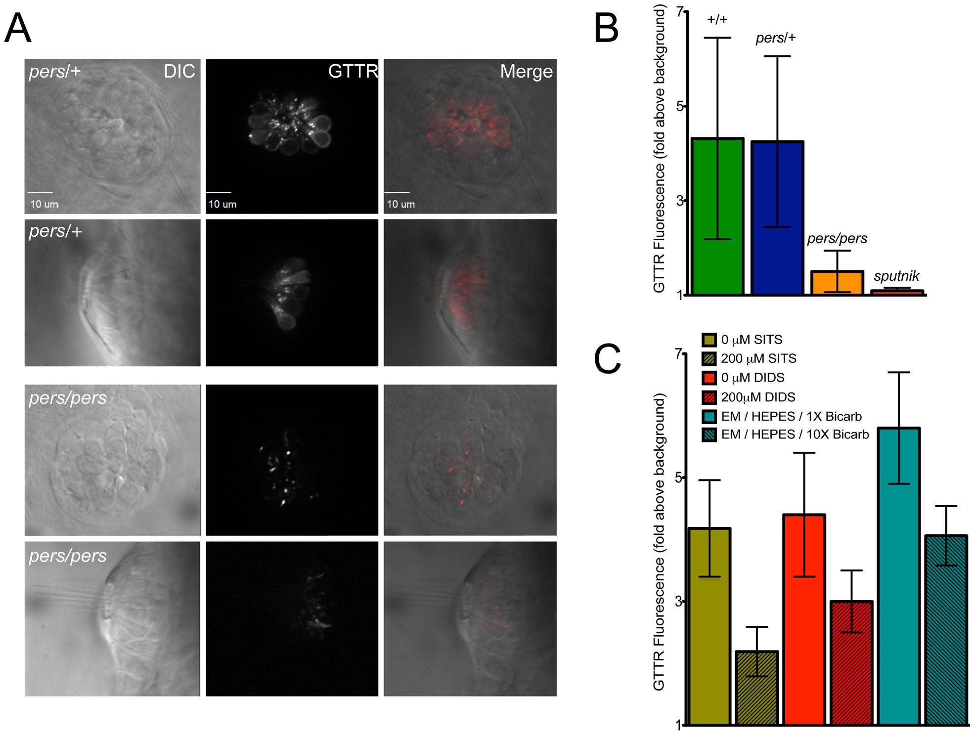 <i>persephone</i>, SLC4 inhibitors, and high bicarbonate all reduce gentamicin uptake.