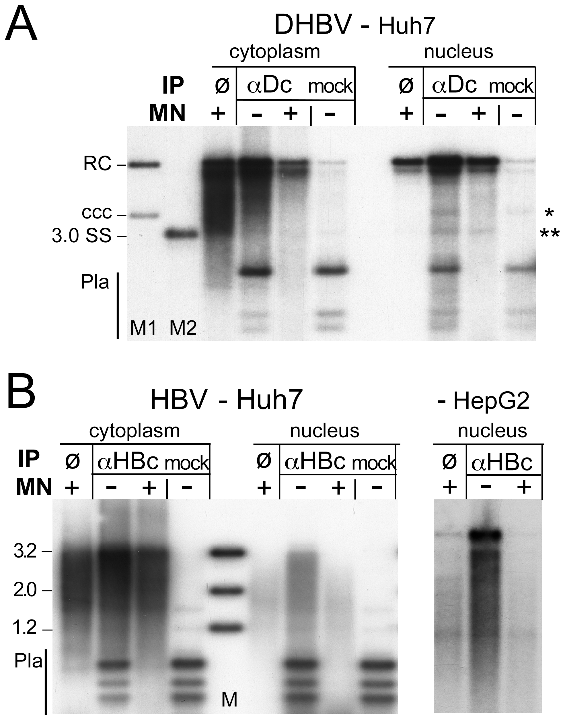 Core protein association of nuclear DHBV and HBV DNA.