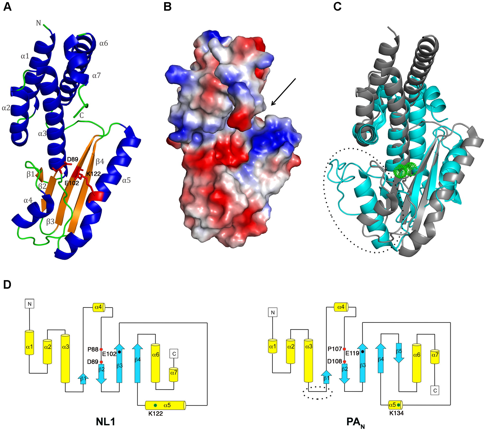NL1 structure and comparisons with the influenza PA<sub>N</sub> structure.