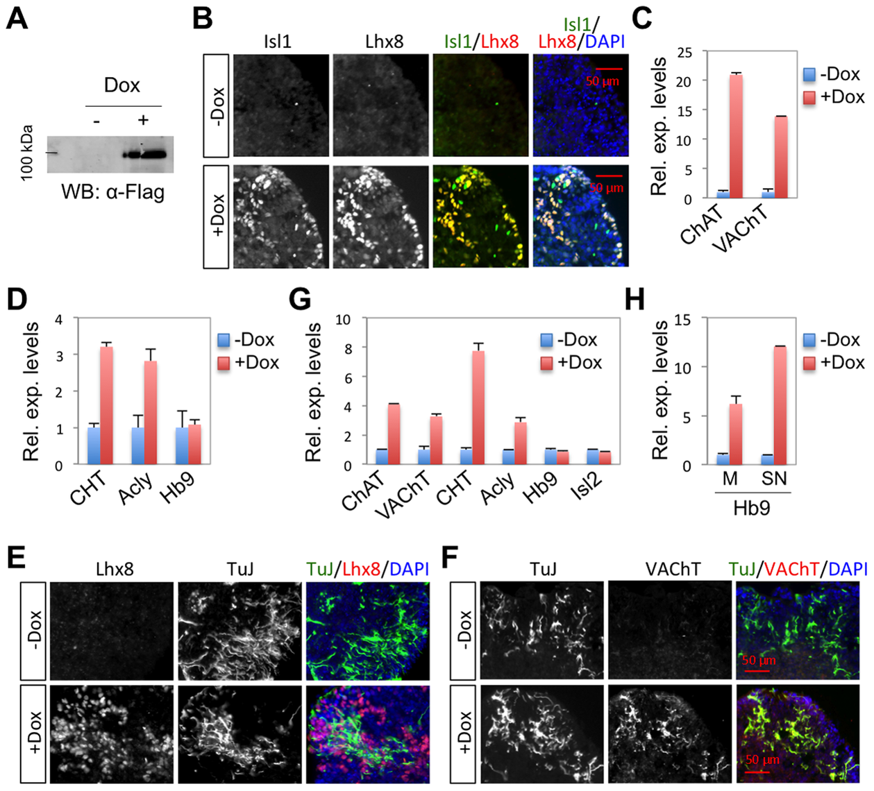 Isl1-Lhx8 induces a cholinergic fate in ESC-derived neurons.