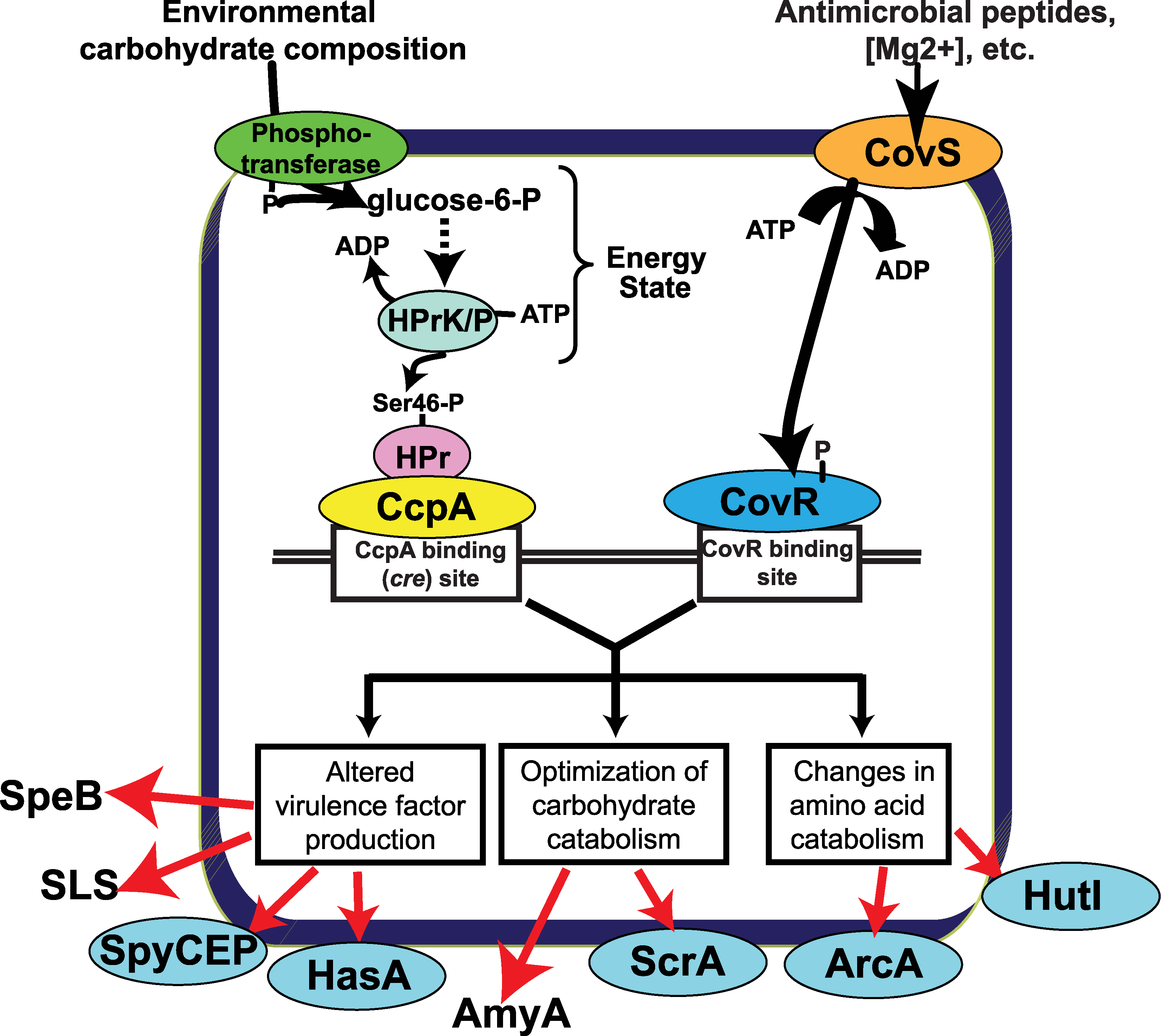 Model for how CcpA and CovR contribute to GAS gene expression profile.