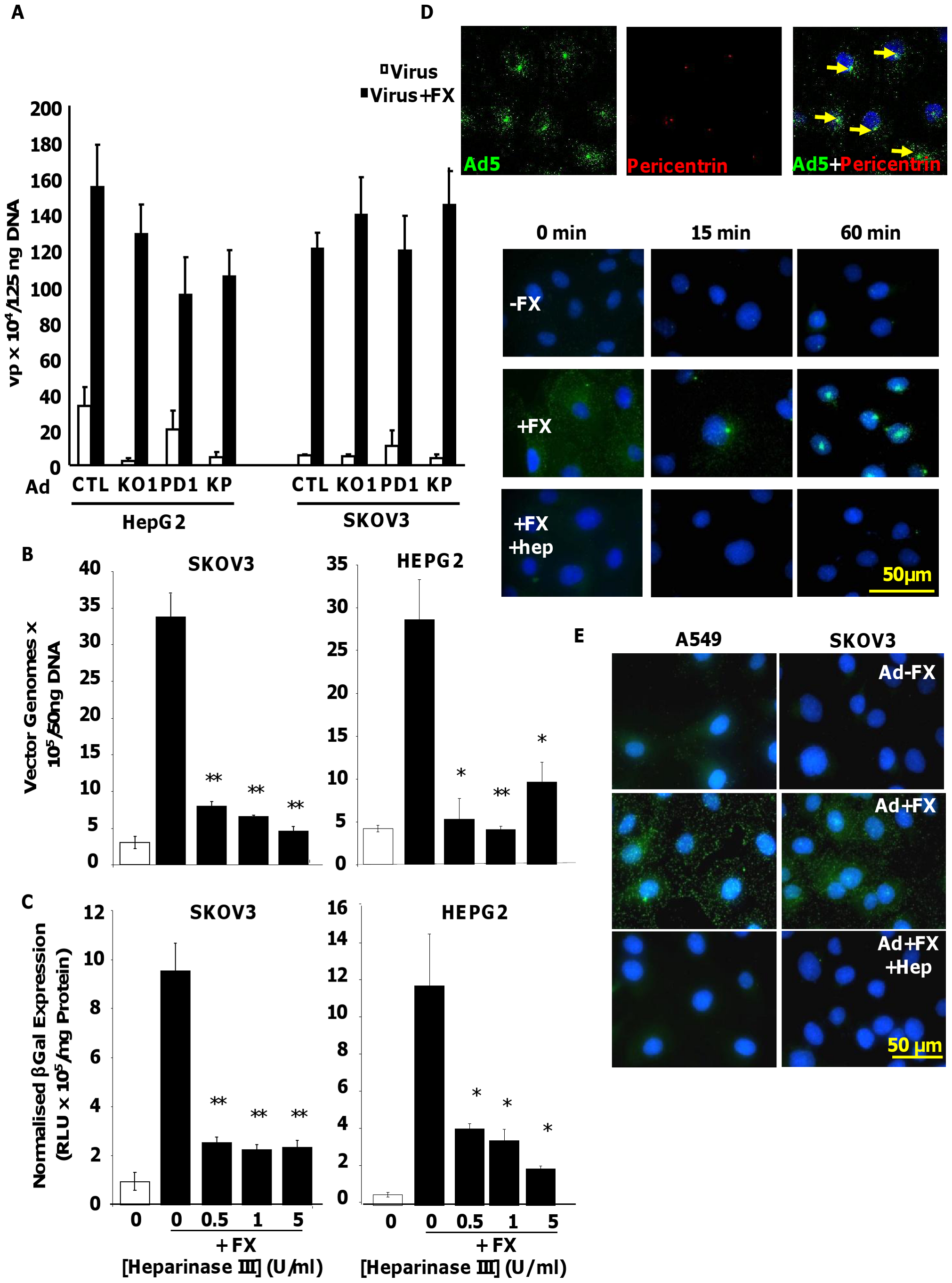 Importance of HS sidechains during Ad5 binding, cell entry, cytosolic transport and transduction <i>in vitro</i>.