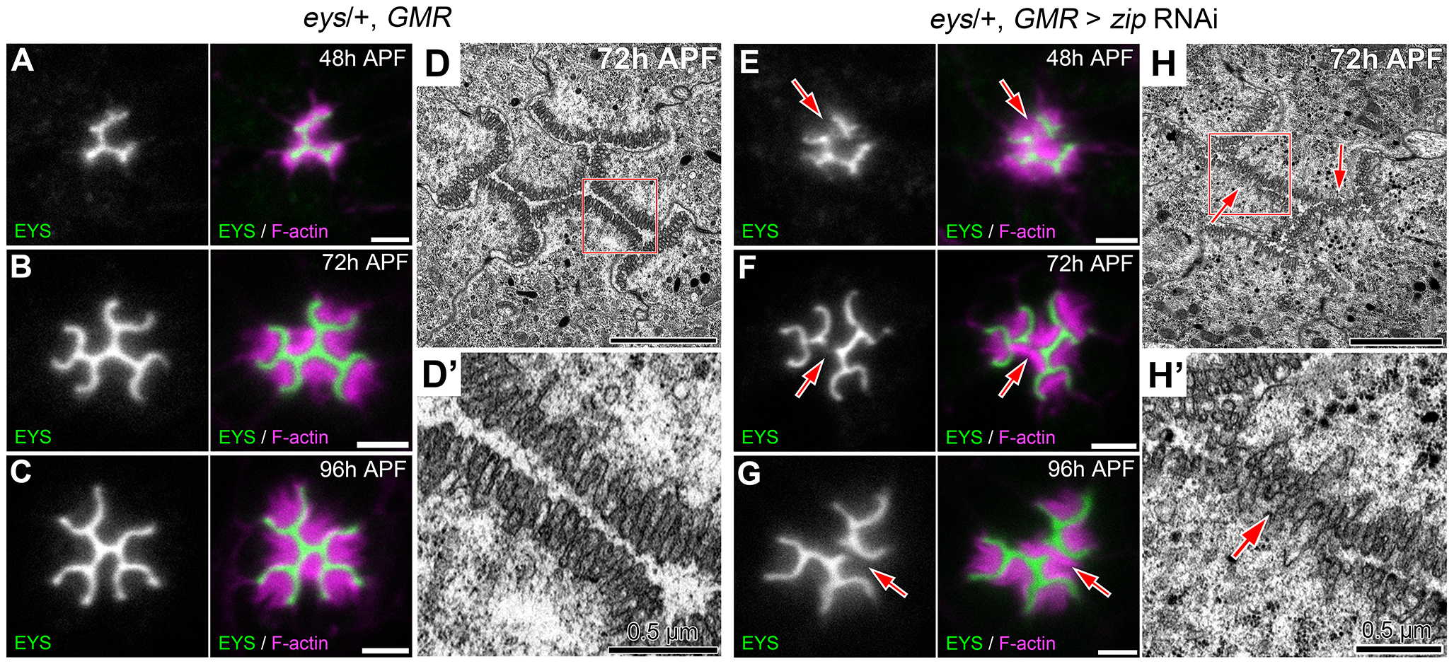 Defects in apical membrane separation are detected early and maintained throughout development.