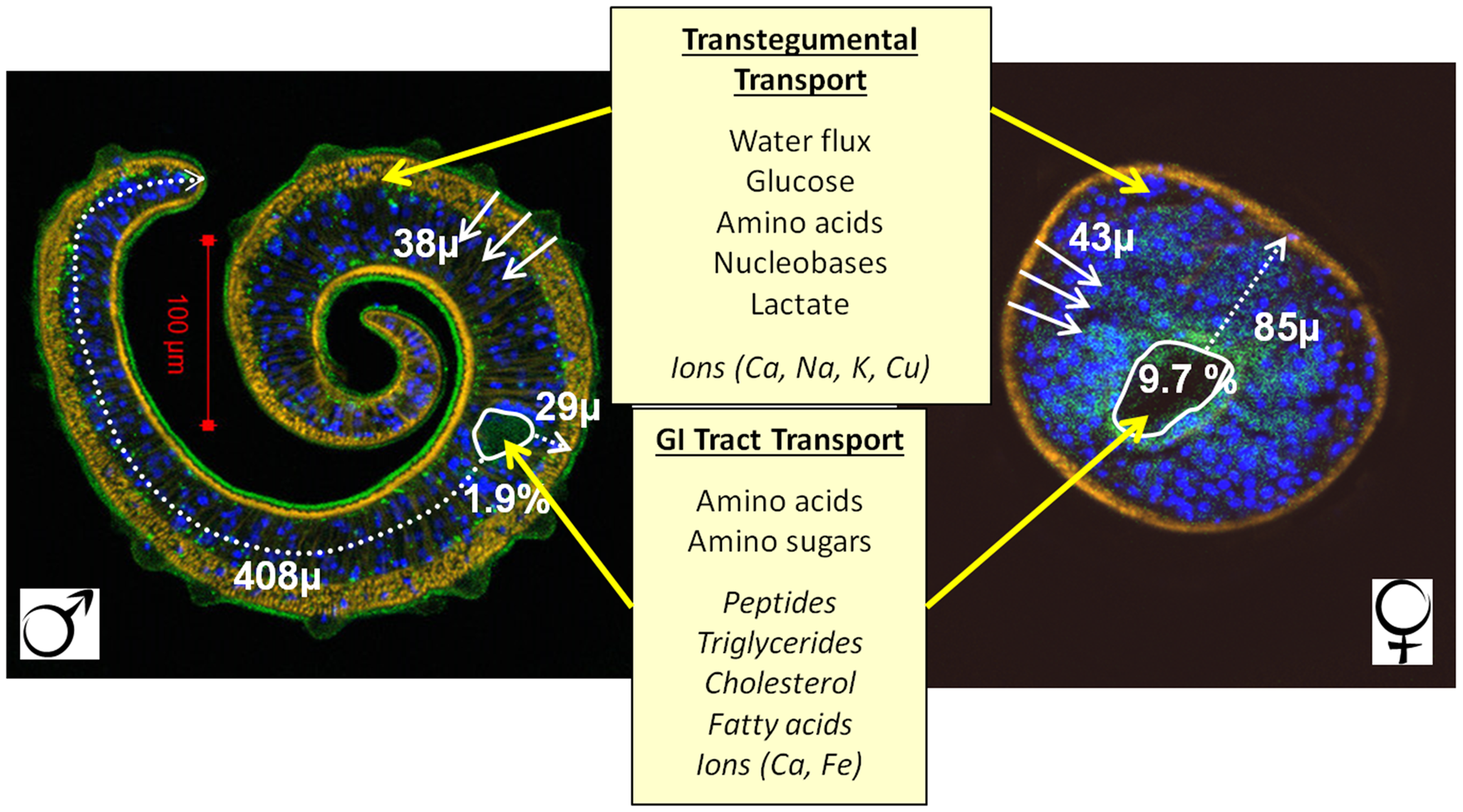 Pathways for diffusion of nutrients in male and female schistosomes.