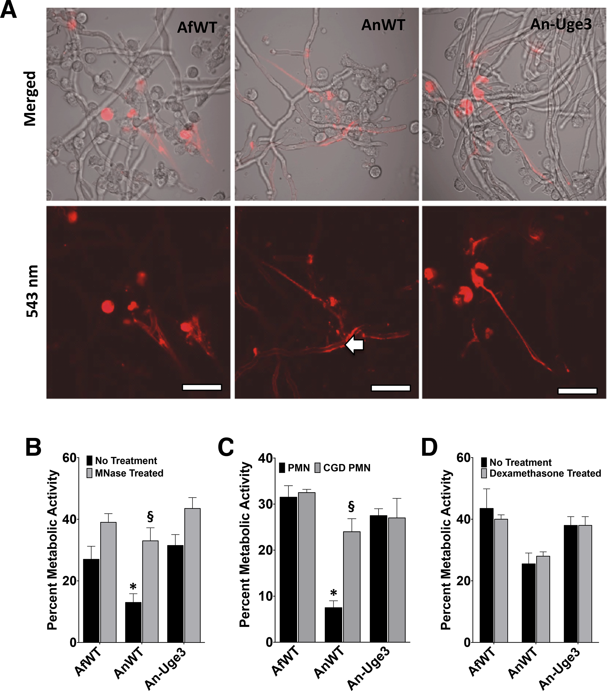 Inhibition or disruption of NETs attenuates the susceptibility of <i>A</i>. <i>nidulans</i> to killing by human neutrophil-mediated killing.