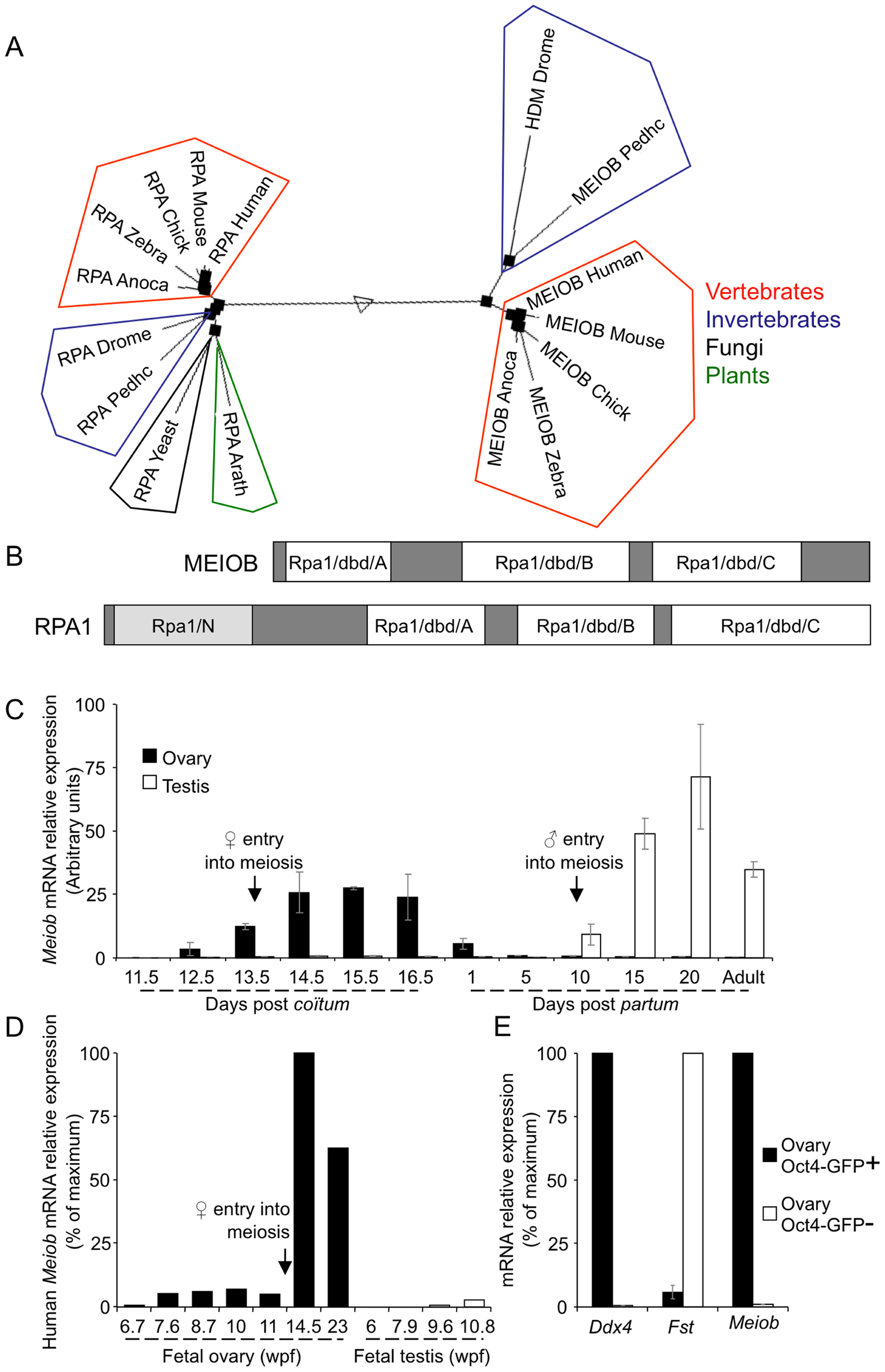 MEIOB is evolutionarily conserved and expressed in meiotic cells.