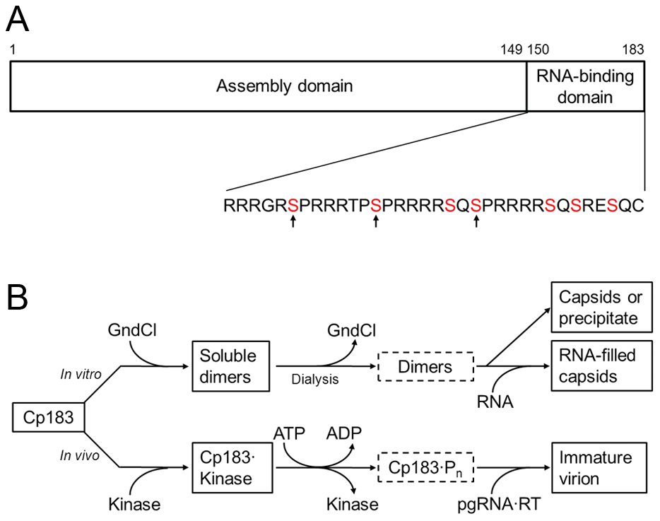 HBV core assembly and Cp183 phosphorylation.