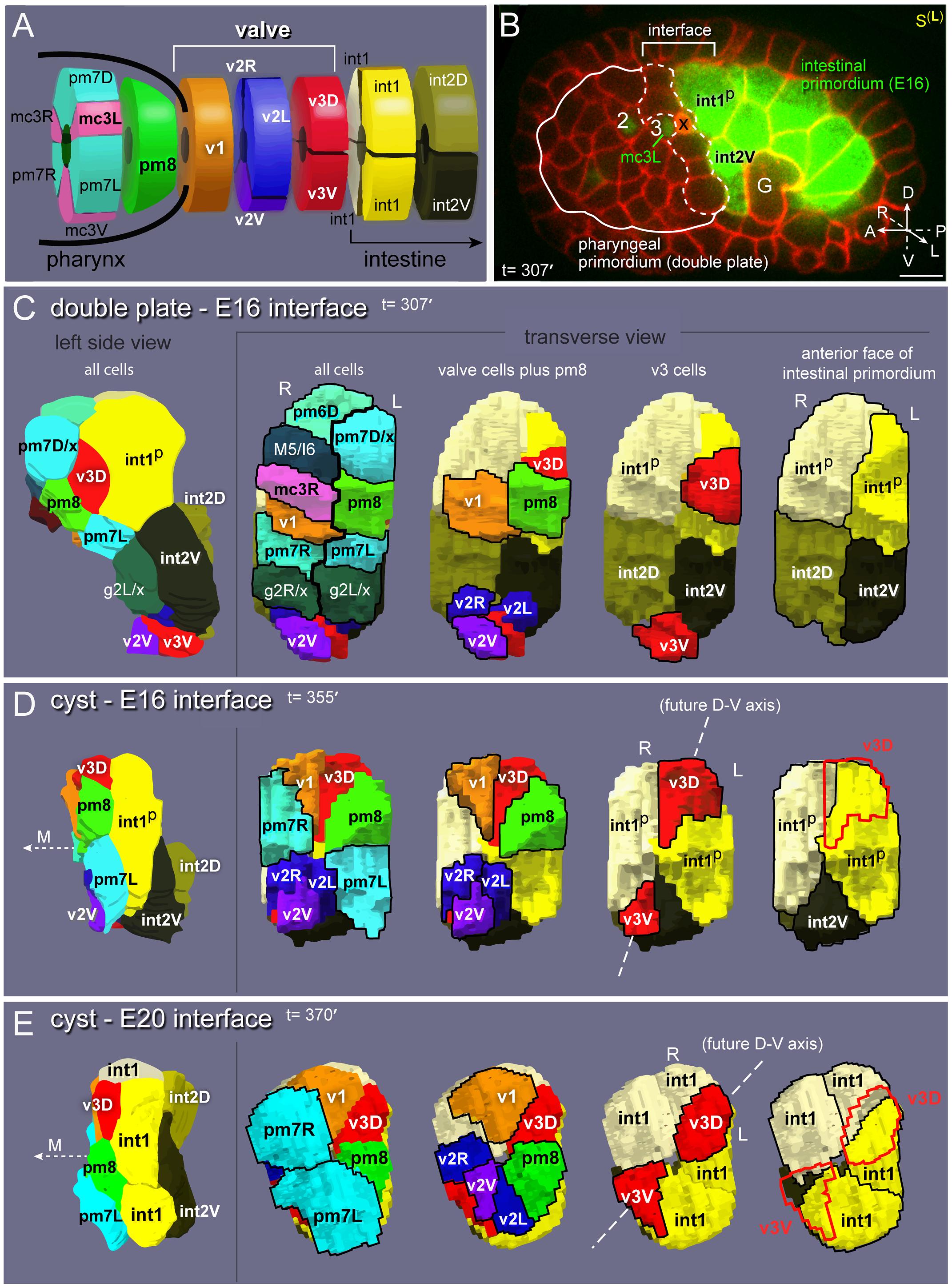Valve anatomy and origins.