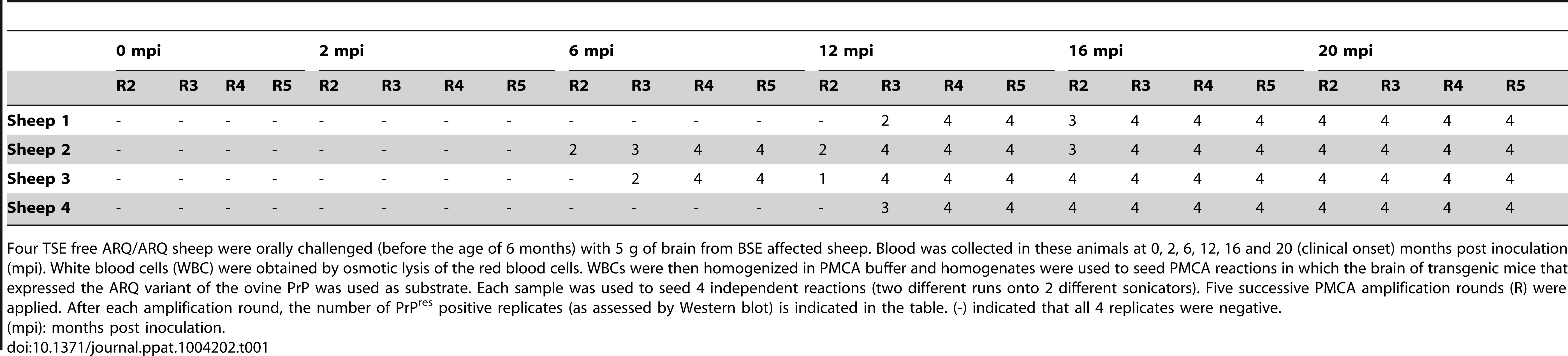 PrP<sup>res</sup> detection in Protein Misfolding Cyclic Amplification (PMCA) reactions seeded with white blood cells from ARQ/ARQ sheep orally inoculated with BSE agent, collected at different time points of the incubation period.