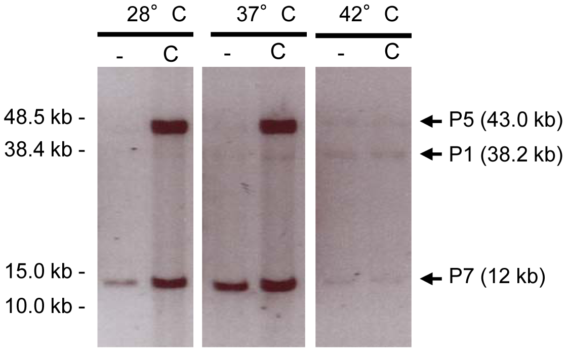 Detection of prophage packaged DNA.