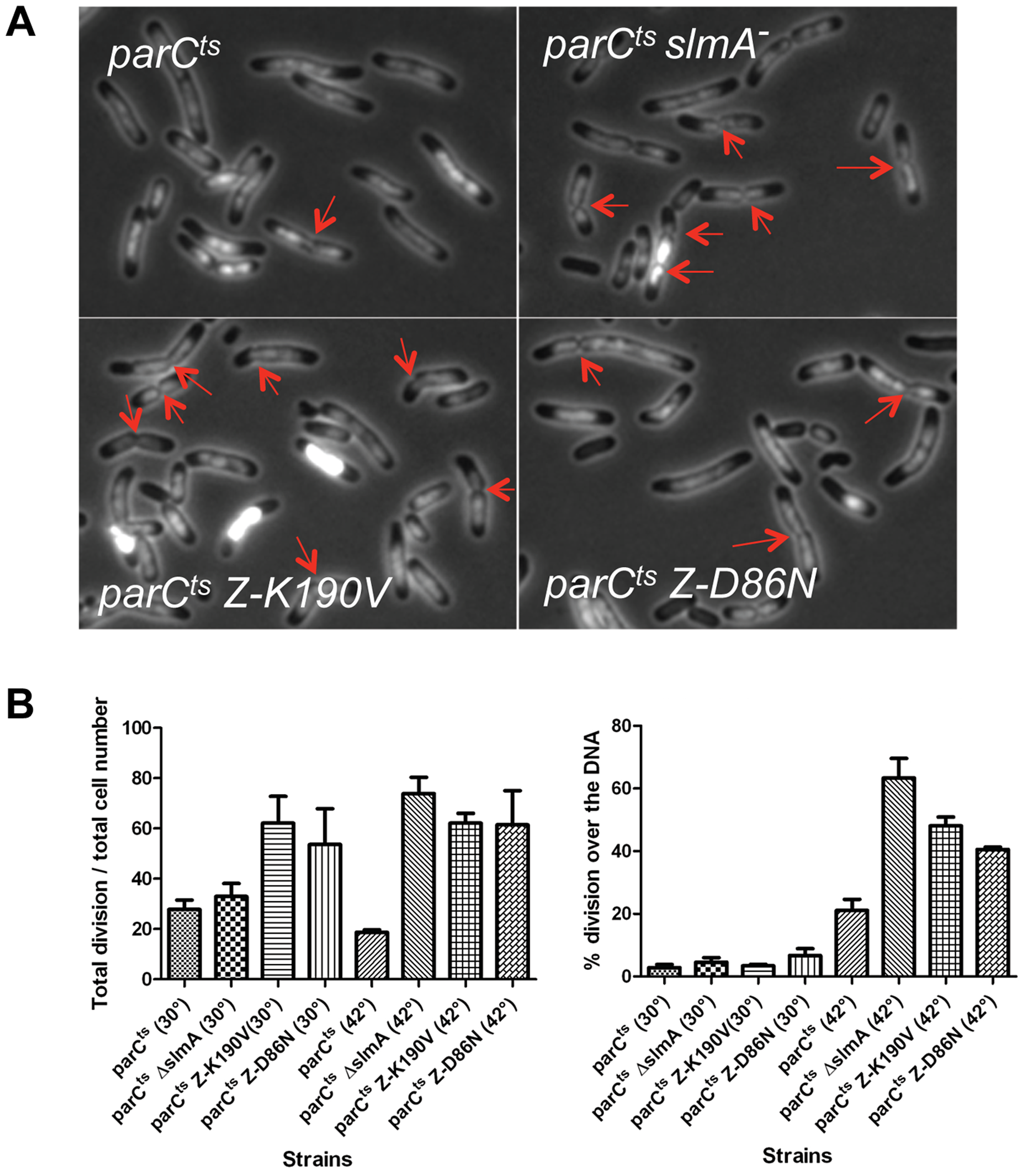 FtsZ-K190V and FtsZ-D86N are nonresponsive to SlmA mediated NO protection of unsegregated chromosomes.