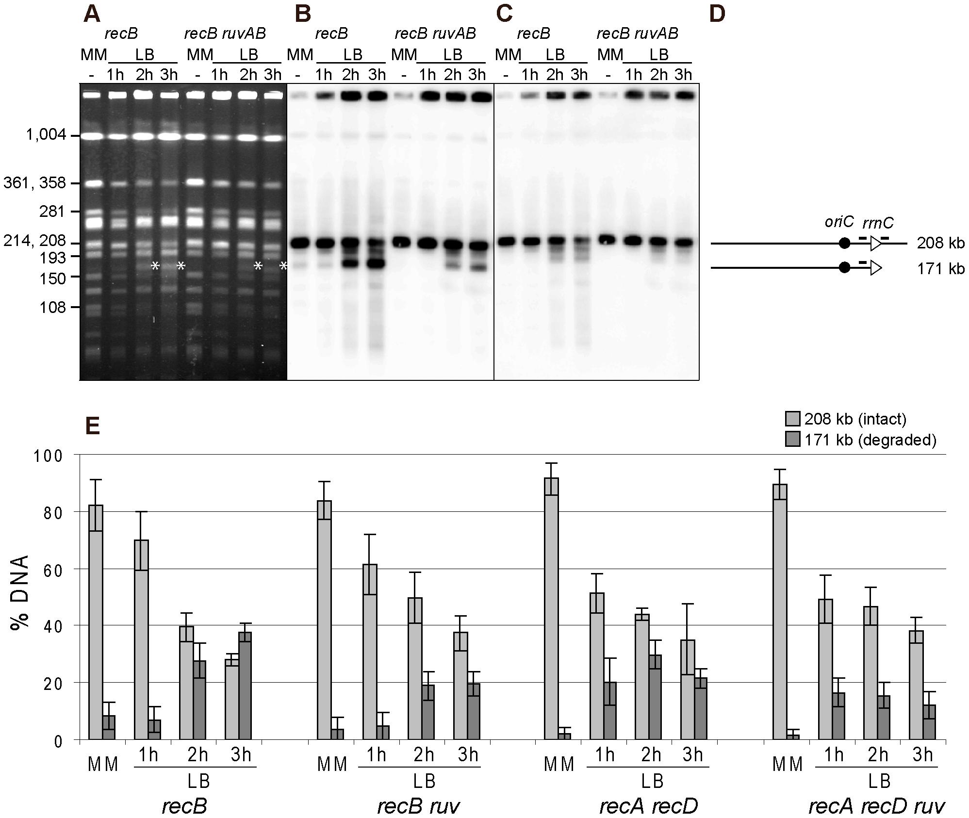 Fork breakage is partially RuvABC-dependent in InvA mutants.