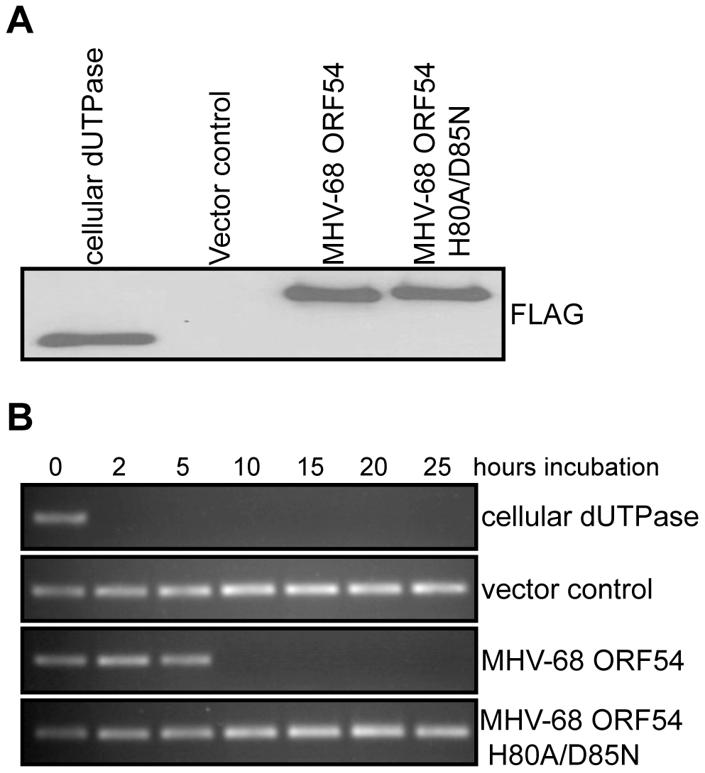 Generation of a dUTPase-null MHV-68 ORF54.