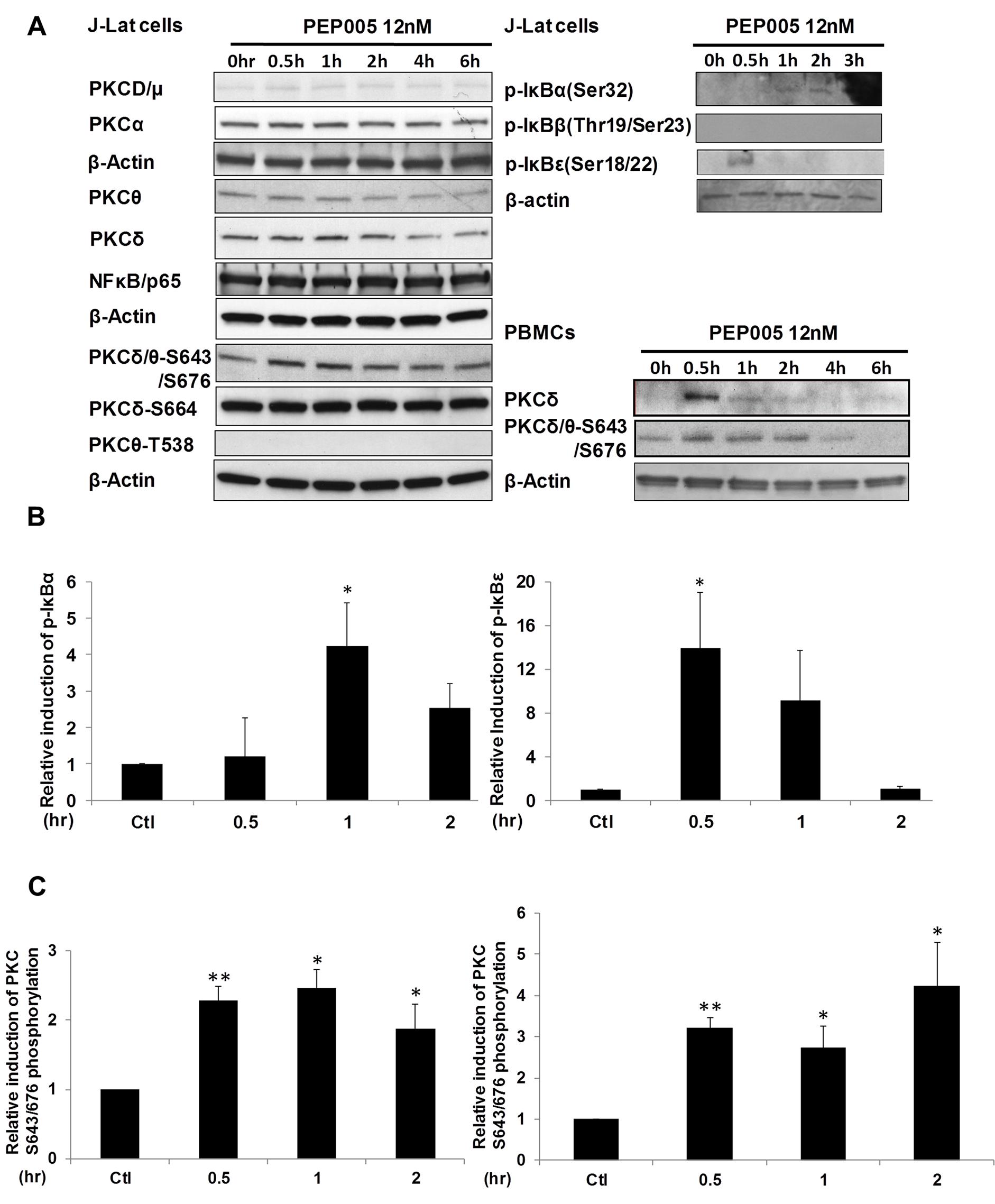 PEP005 activates PKCδ/θ-IκBα/ε-NF-ĸB signaling.