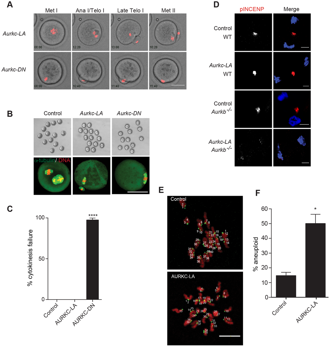 AURKC alone does not regulate cytokinesis and loss of its function leads to aneuploid eggs.