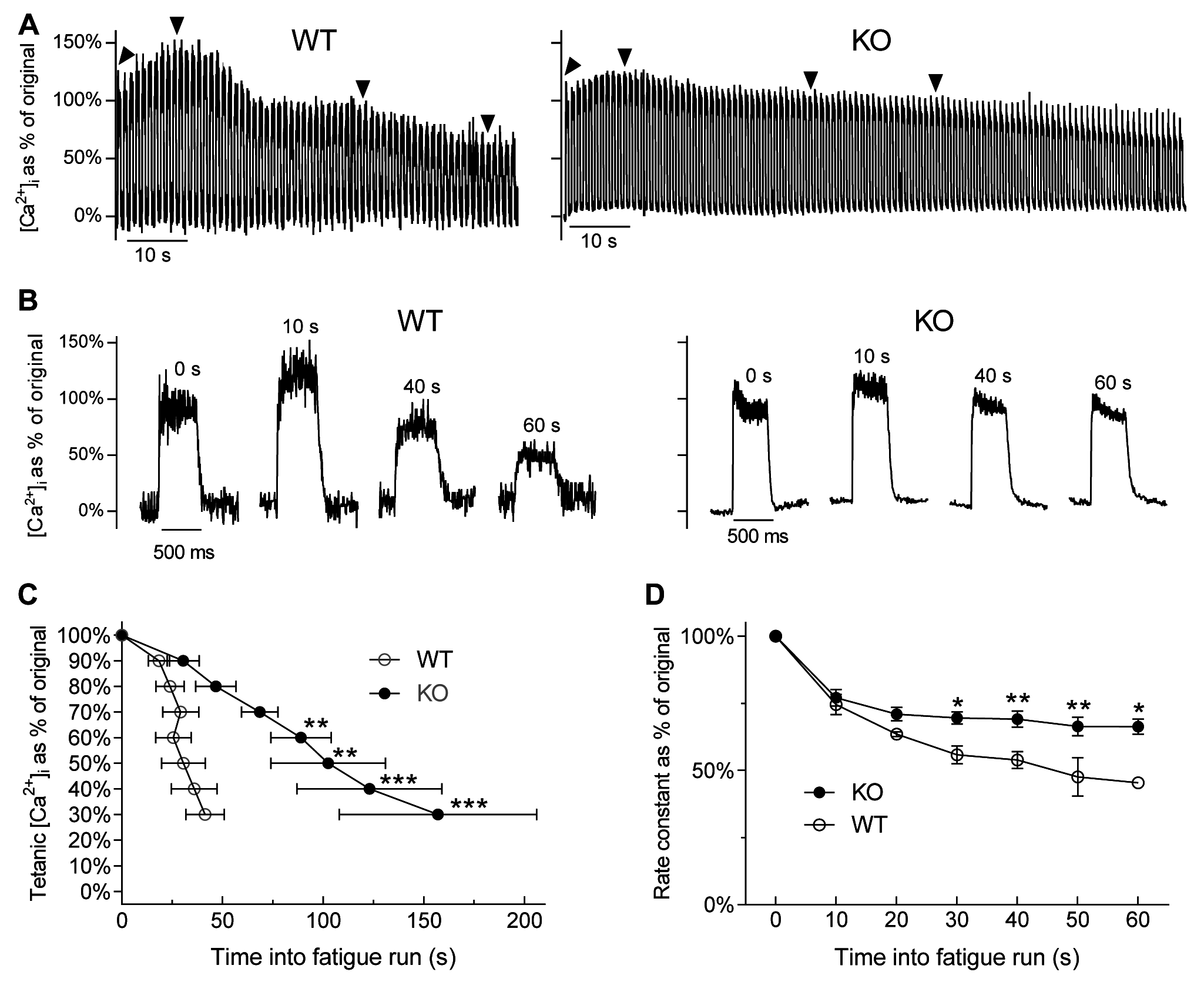 [Ca<sup>2+</sup>]<sub>i</sub> changes during fatigue in FDB fibres of WT and <i>Actn3</i> KO mice.