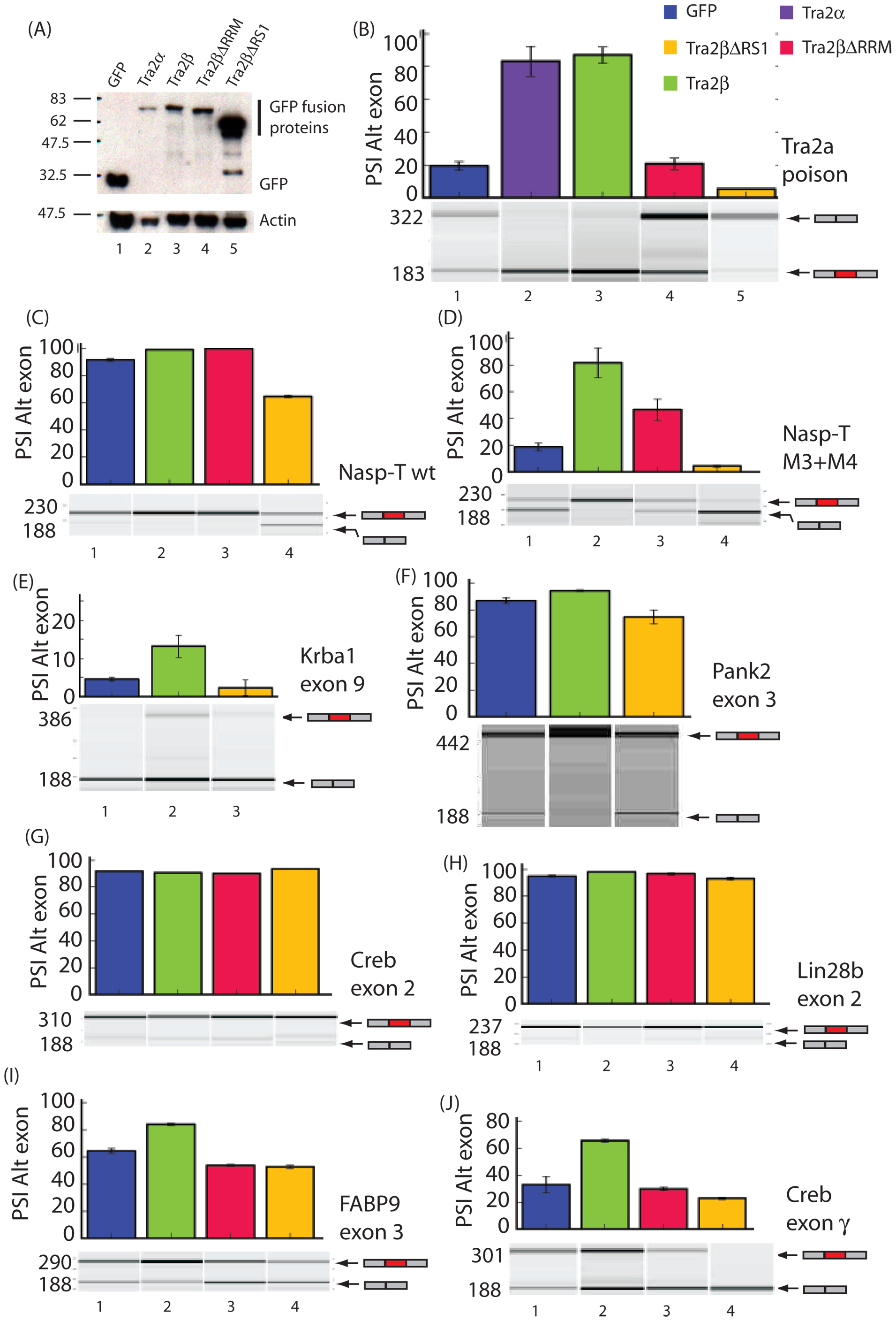Different protein isoforms of Tra2β can act as specific splicing activators, co-activators, and repressors of a target exons identified by HITS-CLIP.