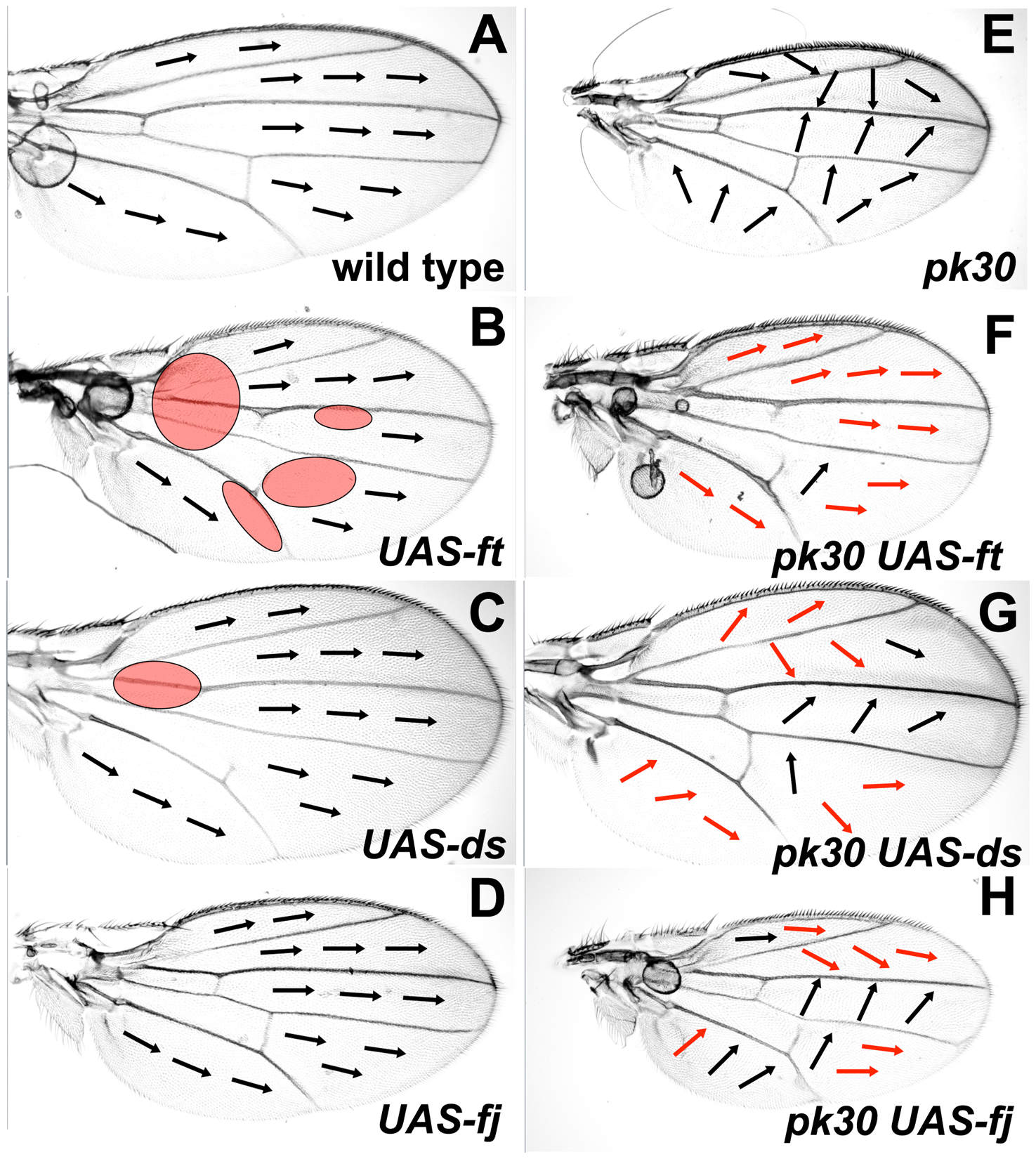 Over-expression of Ft/Ds pathway genes modifies the <i>pk<sup>pk</sup></i> hair polarity phenotype.