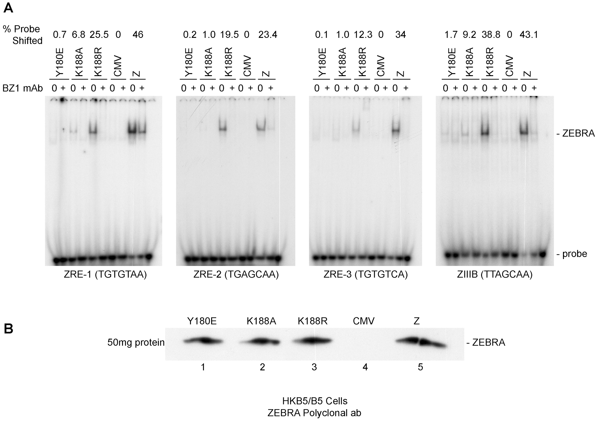 ZEBRA mutants that fail to activate viral replication are defective at binding DNA <i>in vitro</i>.