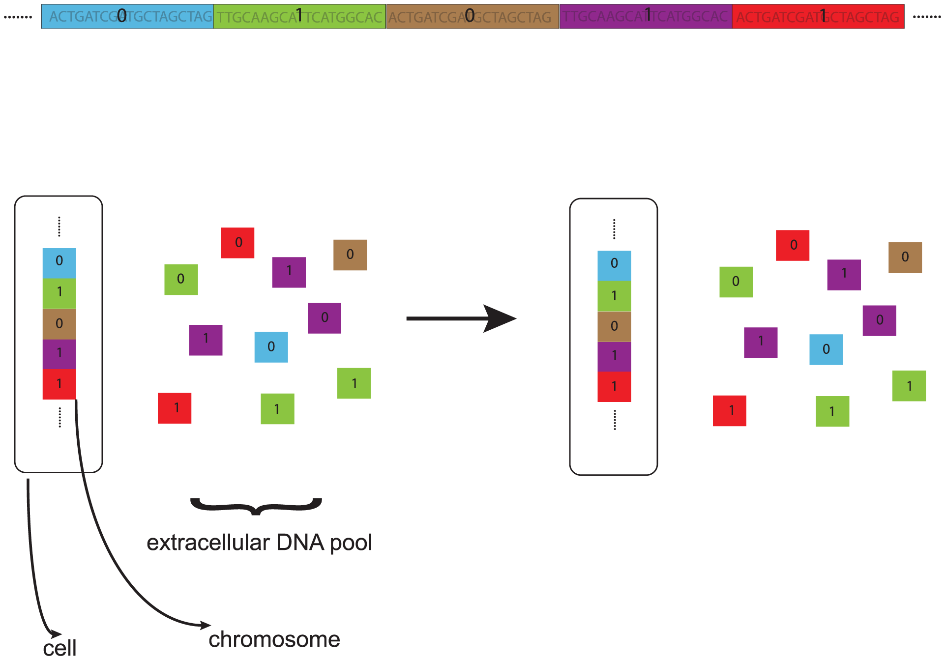Genome and recombination model.