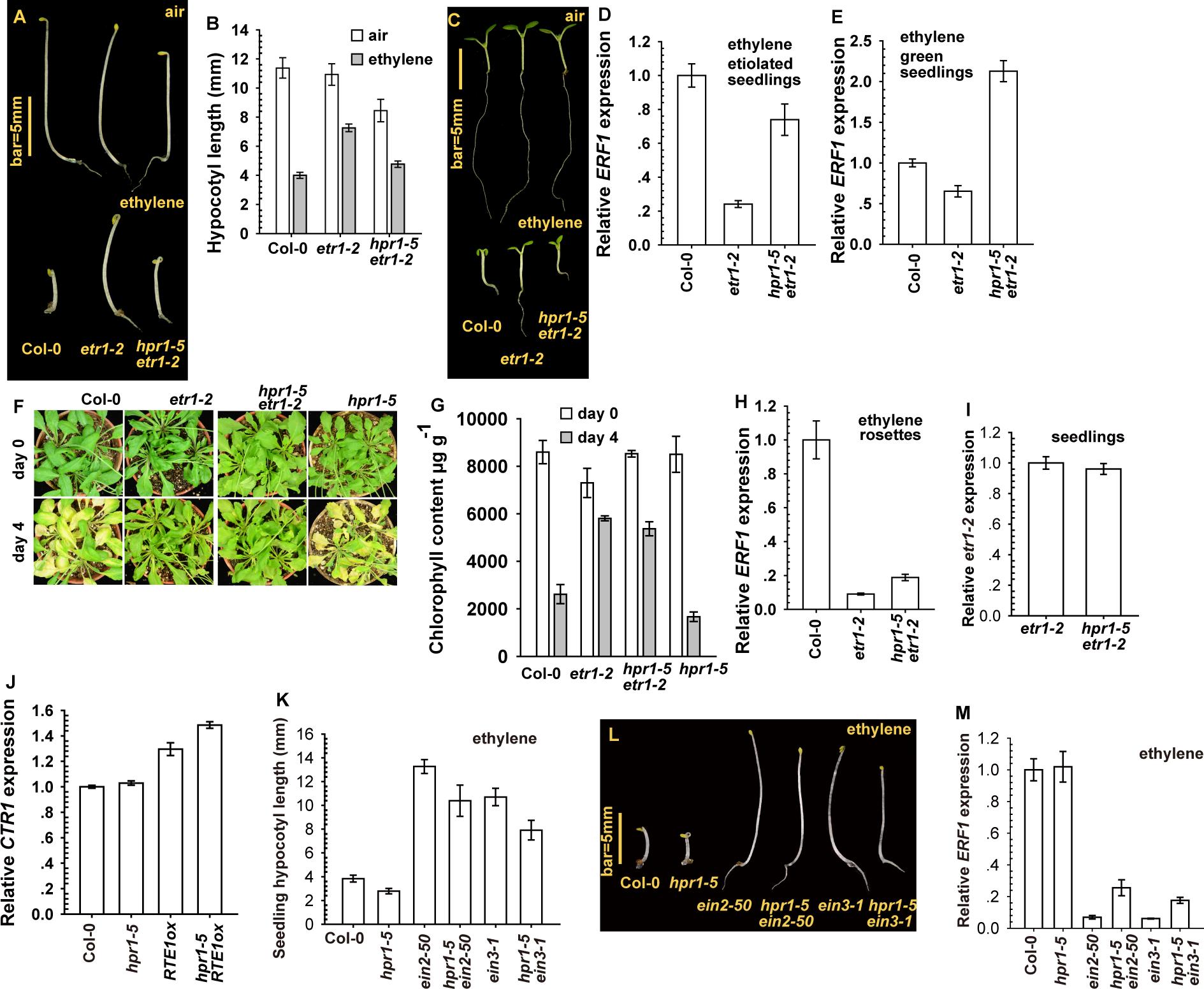 The <i>hpr1–5</i> allele suppressed <i>etr1–2</i> ethylene insensitivity at the seedling stage.