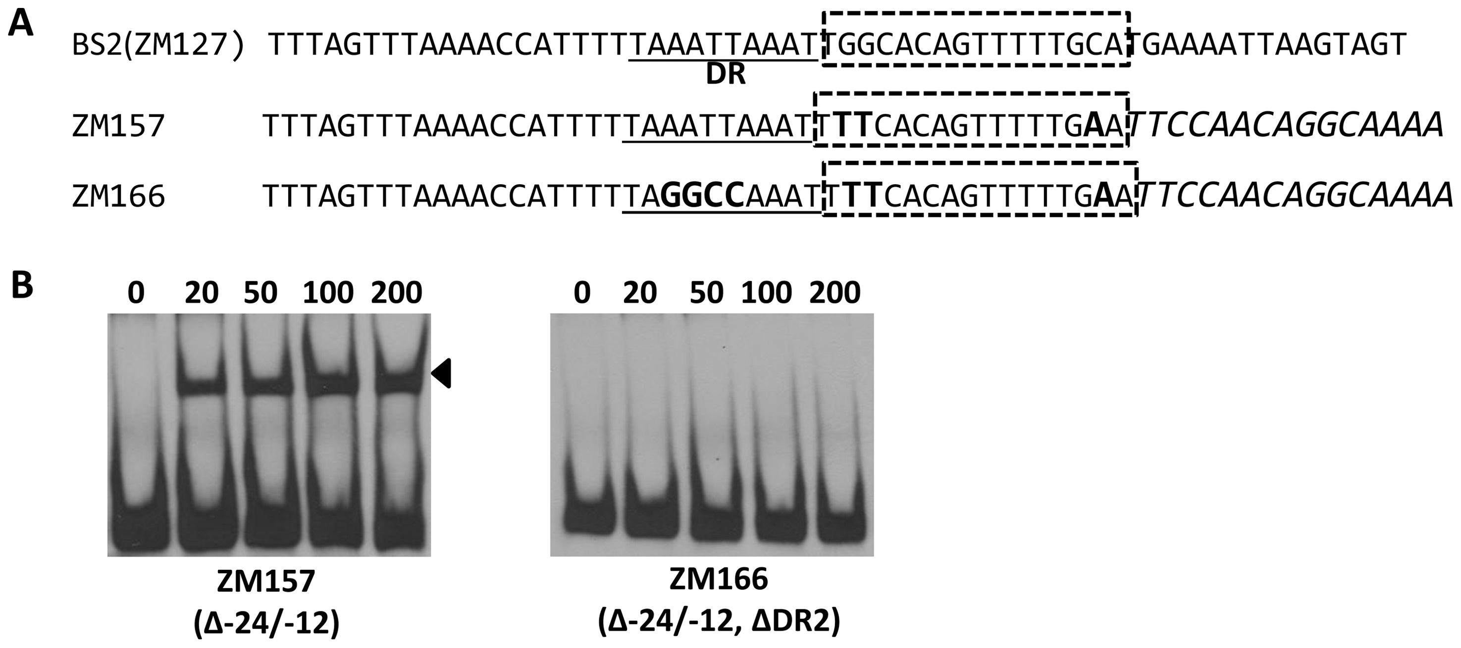 Different key nucleotides are required for BosR or RpoN binding to the <i>rpoS</i> promoter.