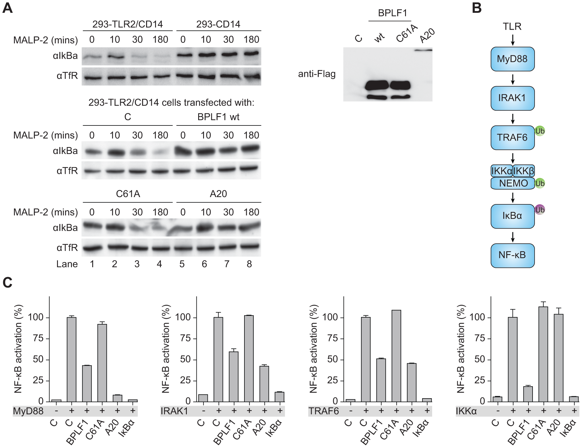 BPLF1 interferes with TLR signal transduction at multiple levels.